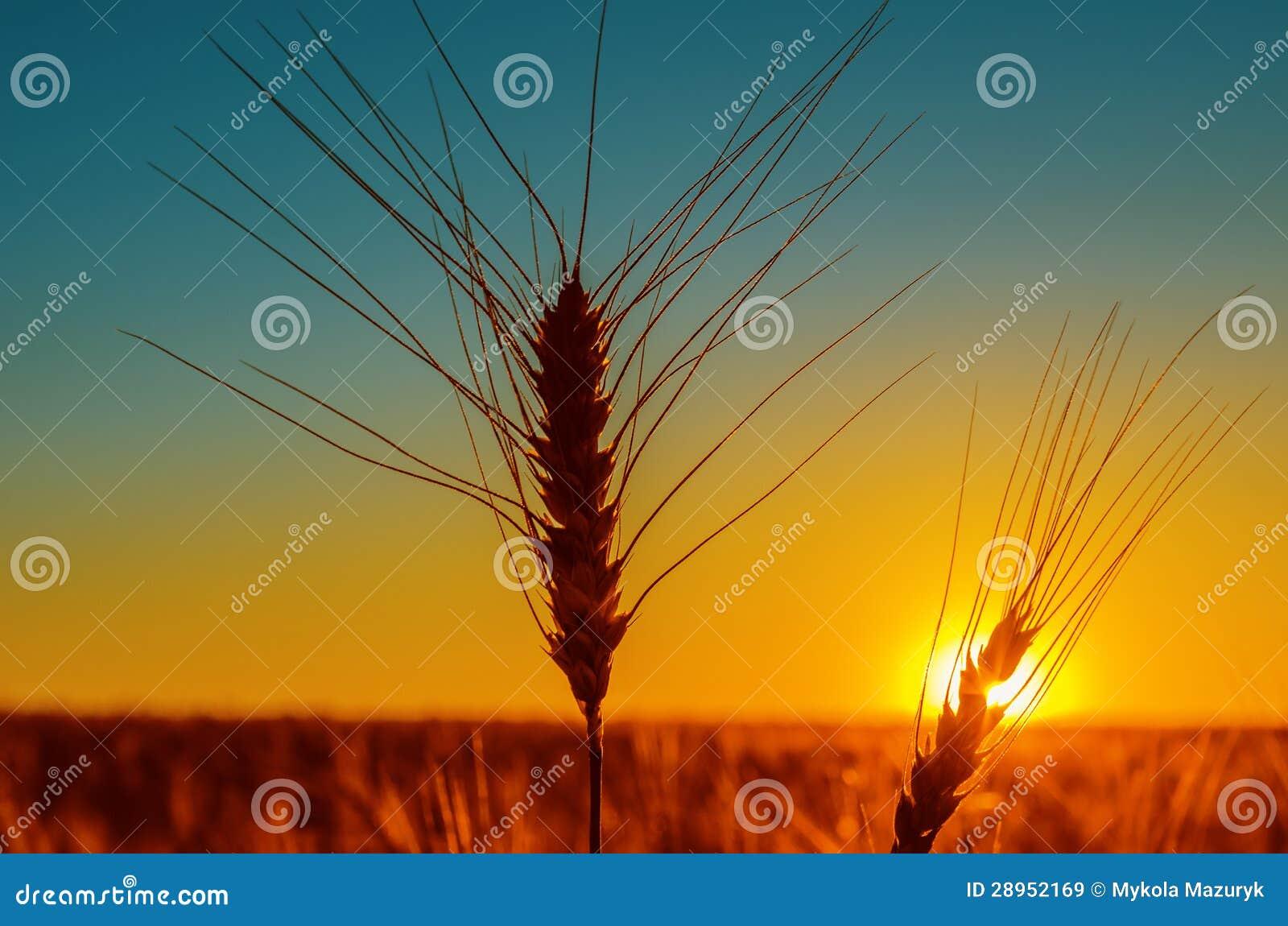 Zmierzchu i żniwa pole