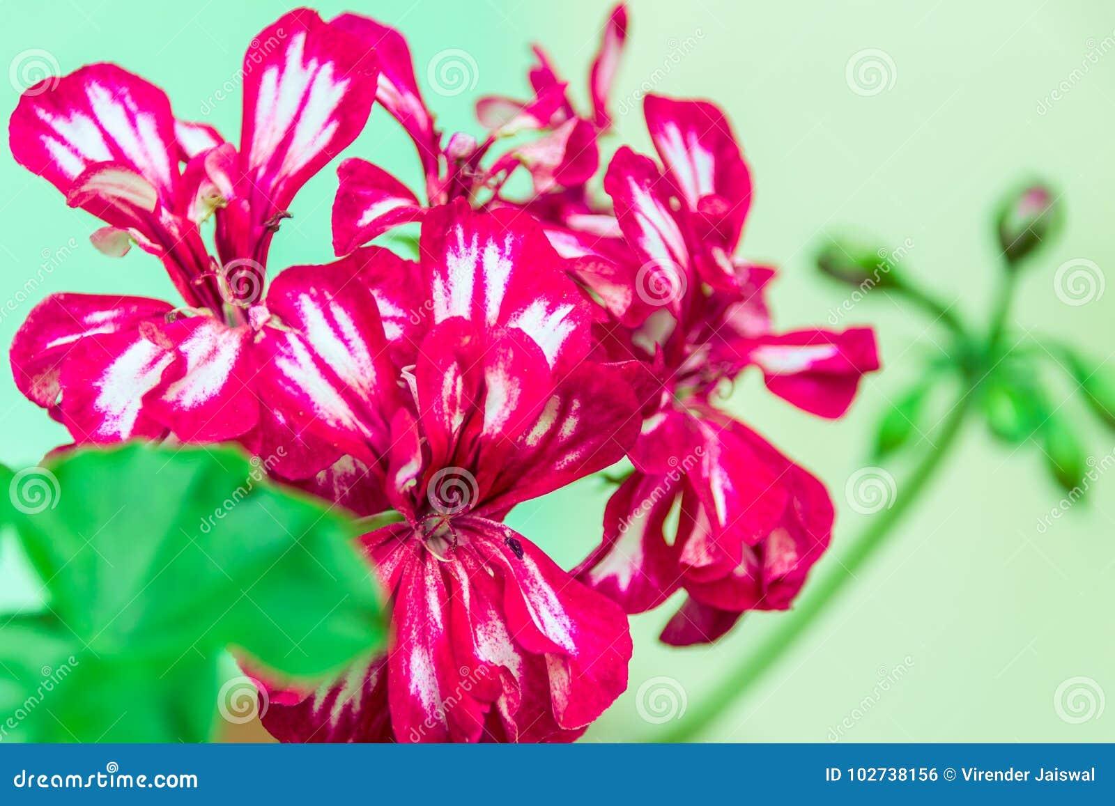Zmrok - czerwieni pelargonium dwoiści kwiaty