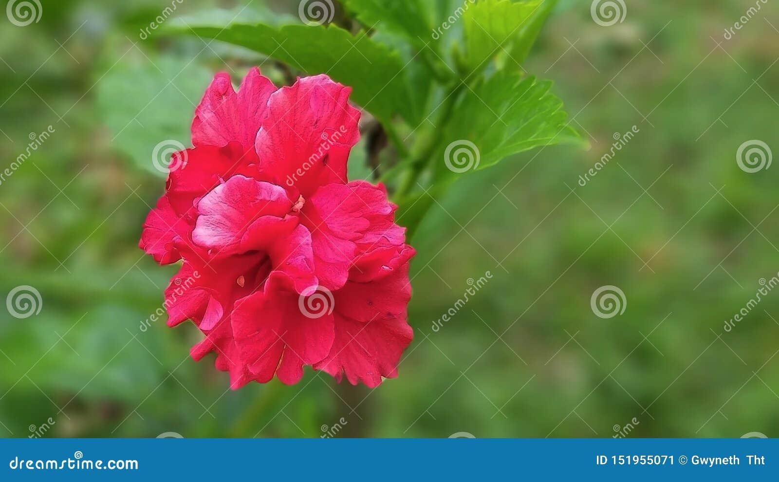 Zmrok - czerwony poślubnika kwitnienie w ogródzie