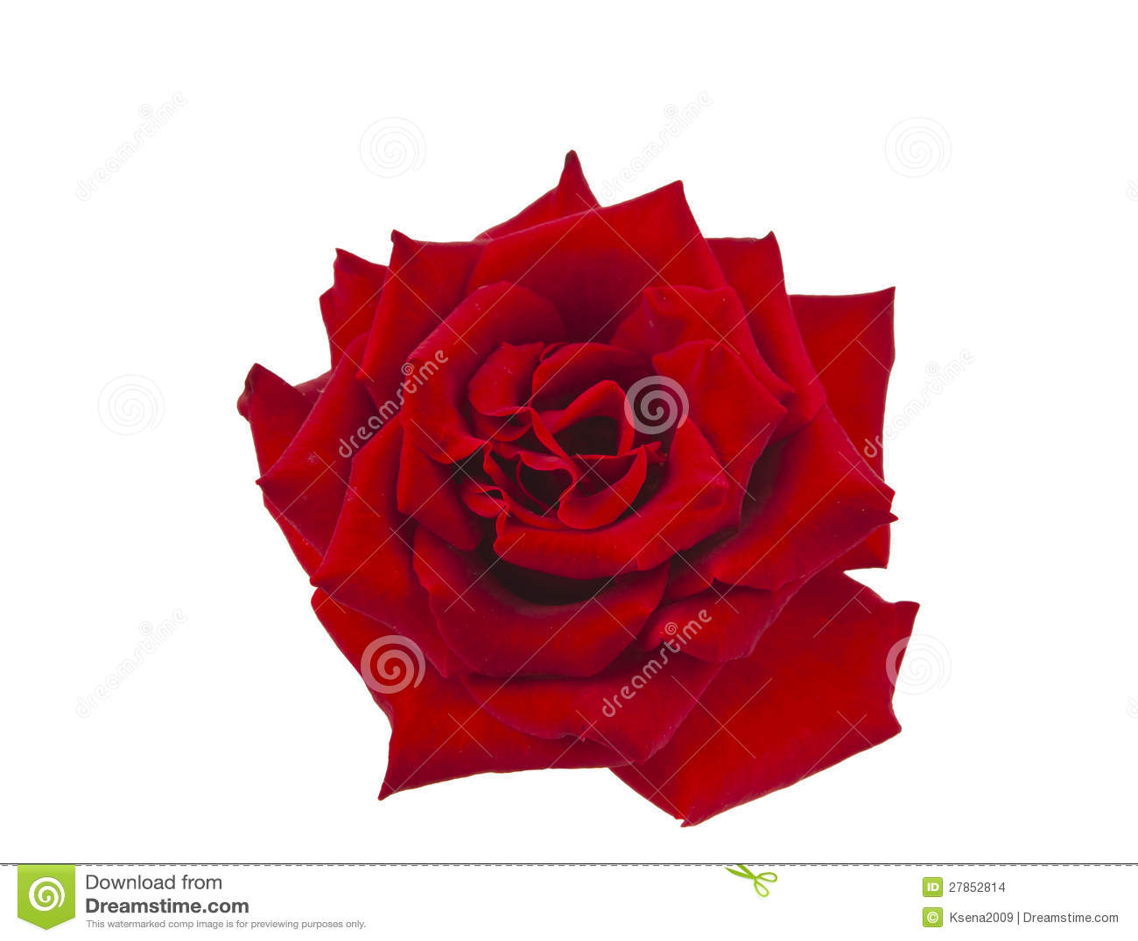 Zmrok - odizolowywająca czerwieni róża