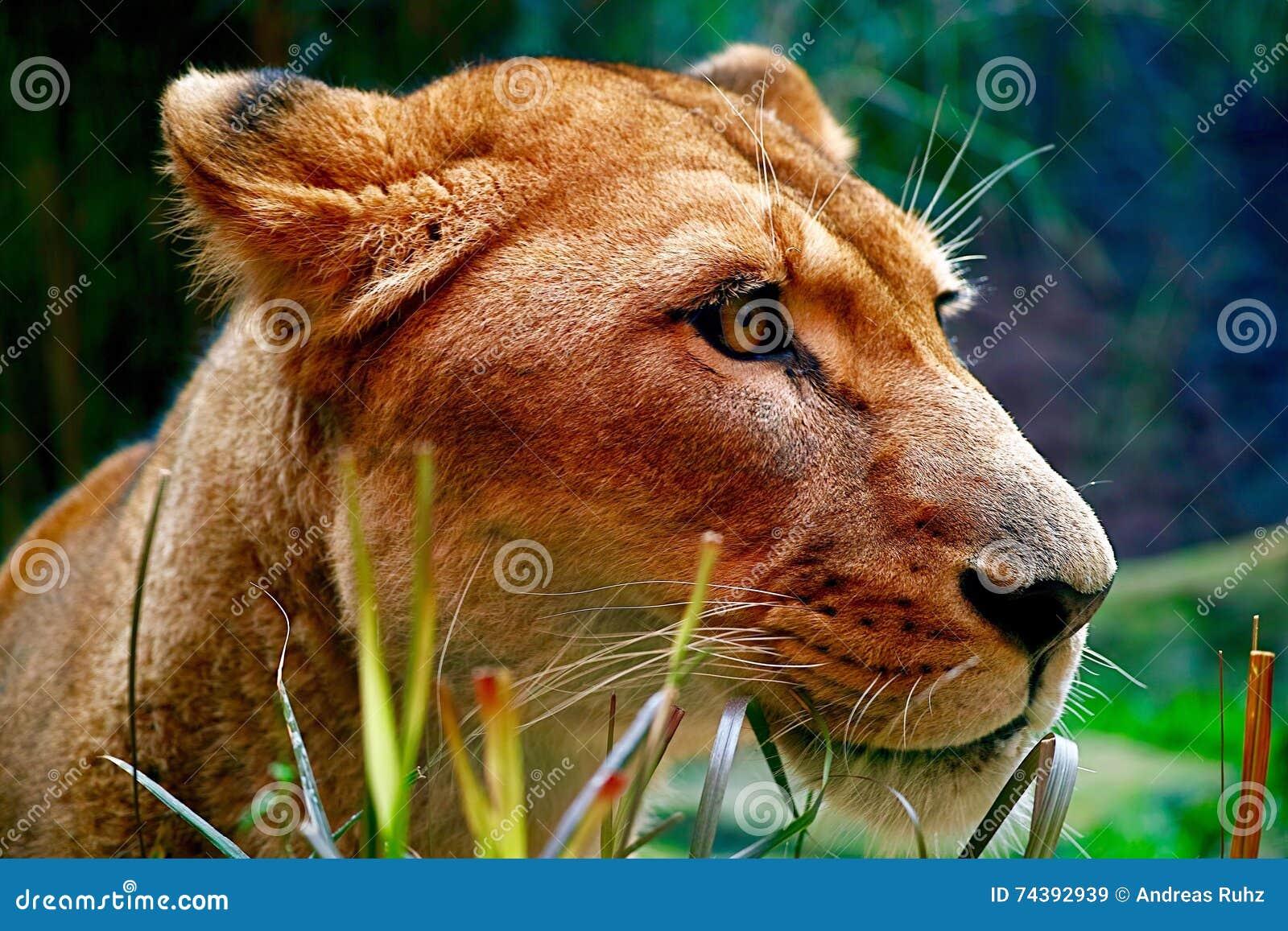 Zniewalająca Doskonała lwica z Rzeźbionym Pełen wdzięku profilem