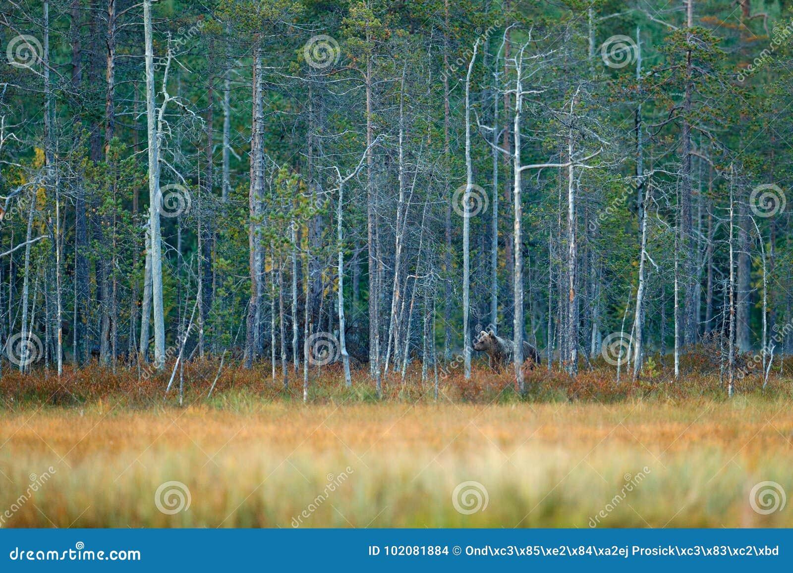 Znosi chowanego w żółtej sosny i brzozy jesieni lasowym drewnie z niedźwiedziem Piękny brown niedźwiedź chodzi wokoło jeziora z j