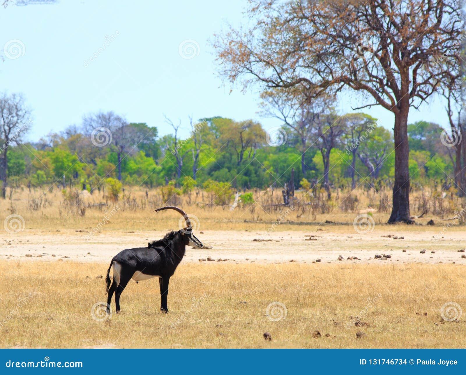 Zobel-Antilopenstellung auf den offenen afrikanischen Ebenen in Nationalpark Hwange, Simbabwe