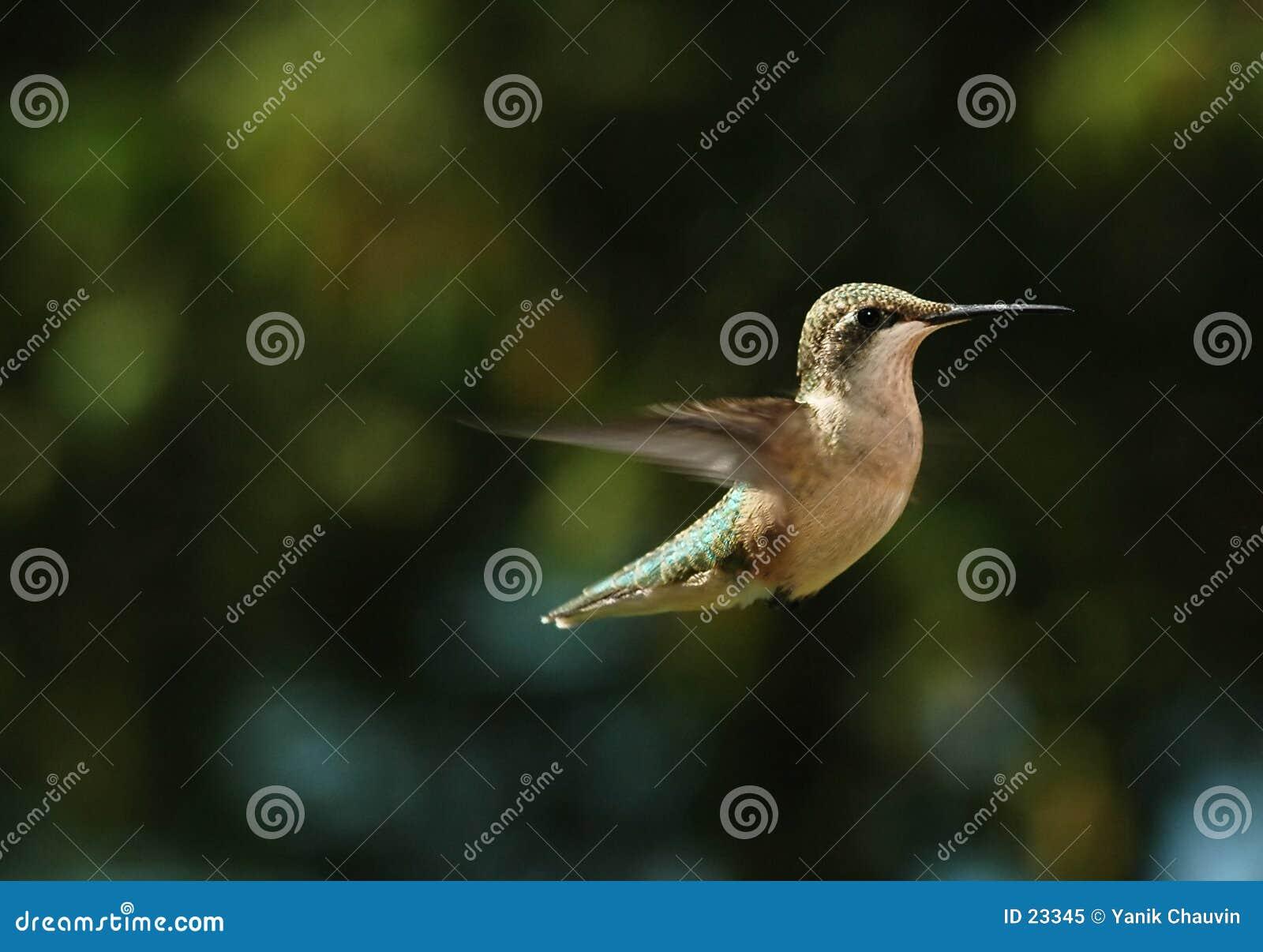 Zoemende vogel 3