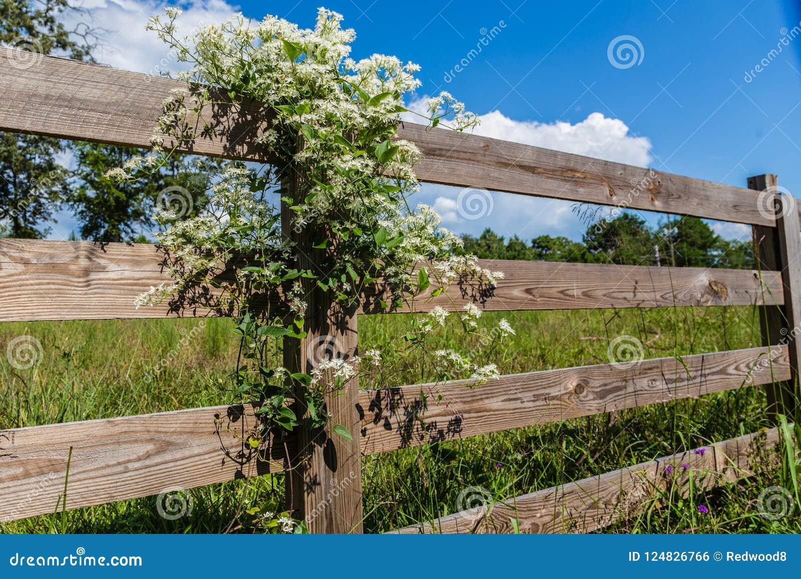 Zoet Autumn Clematis White Flowering Vine