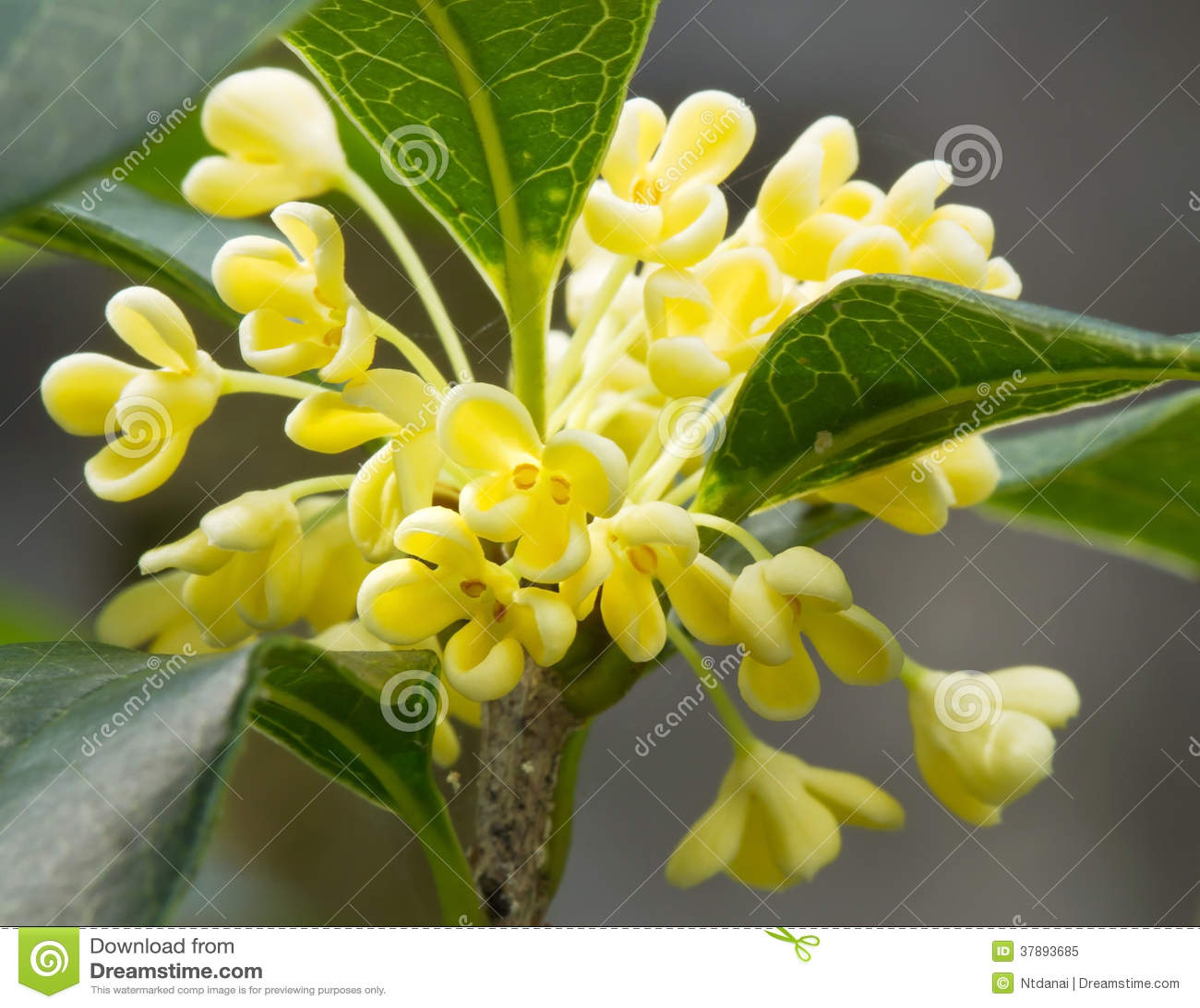 Zoete Osmanthus-bloem