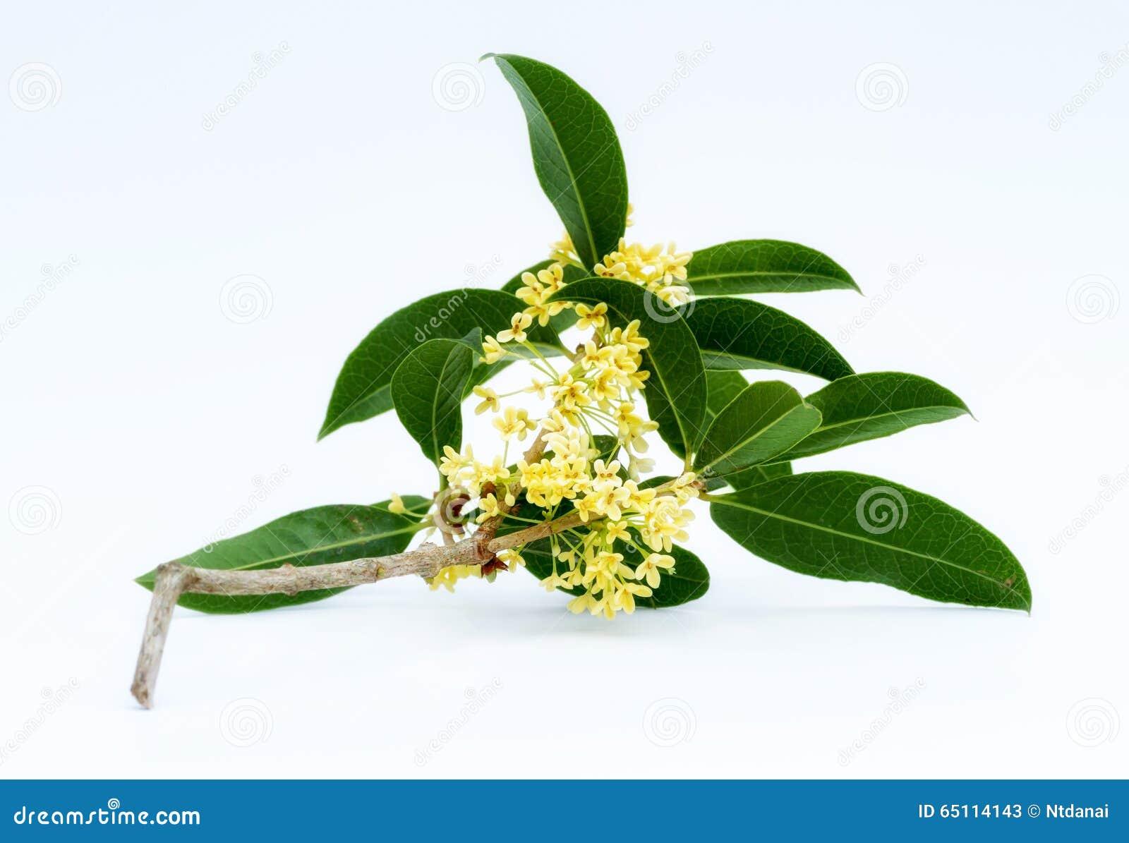 Zoete osmanthusbloemen