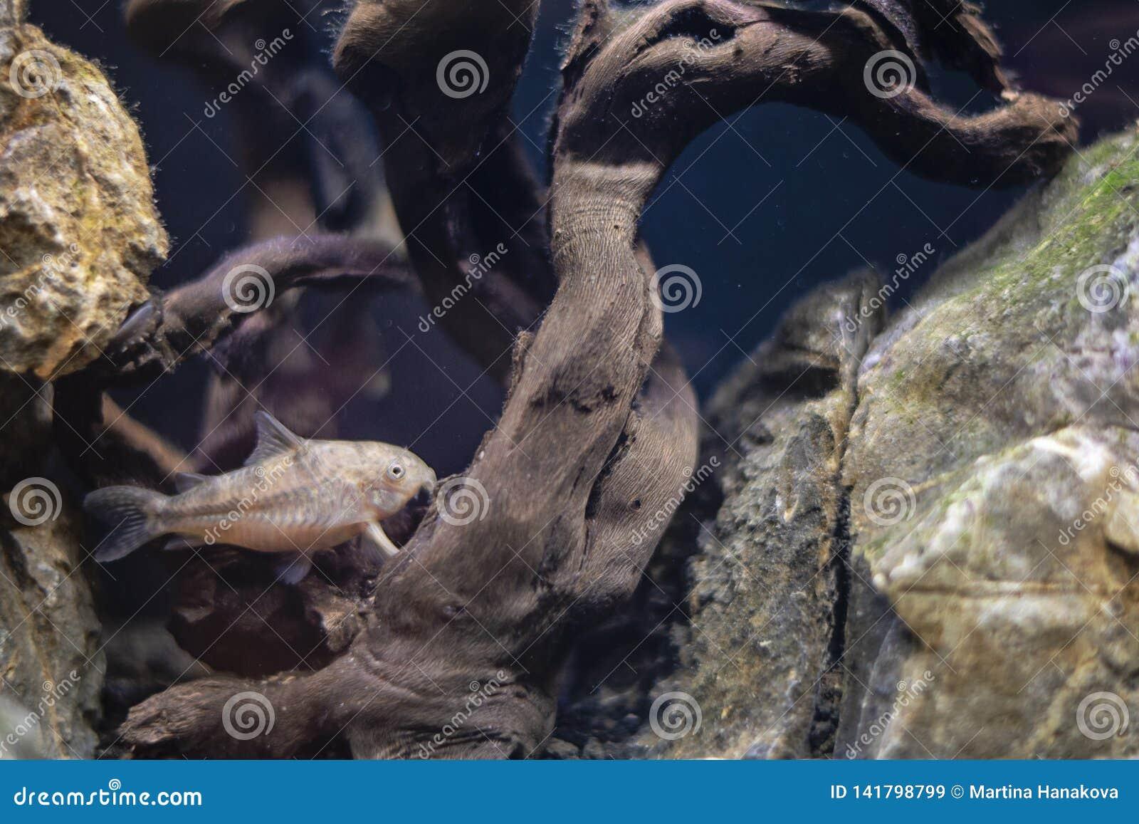 Zoetwater cory vissen in huisaquarium Corydoras die in vissentank zwemmen