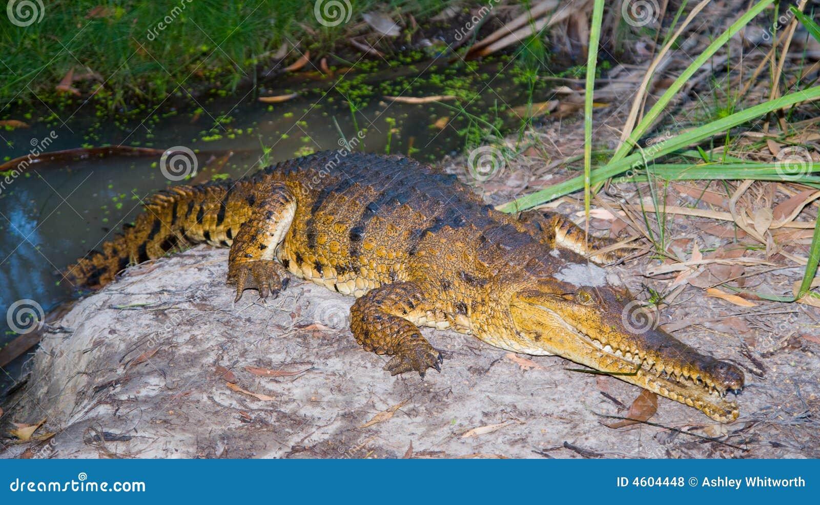 Zoetwater krokodil