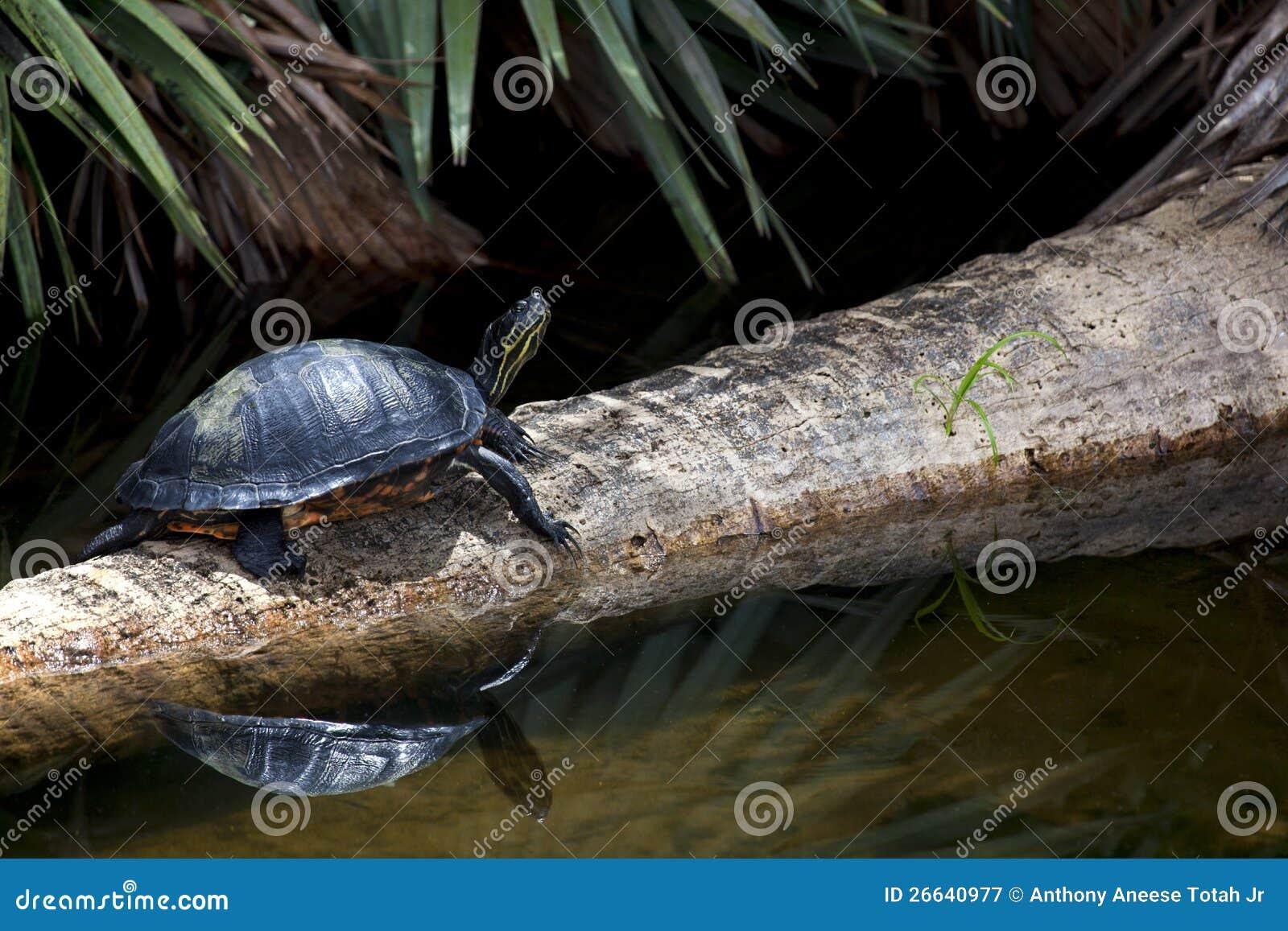 Zoetwater Schildpad
