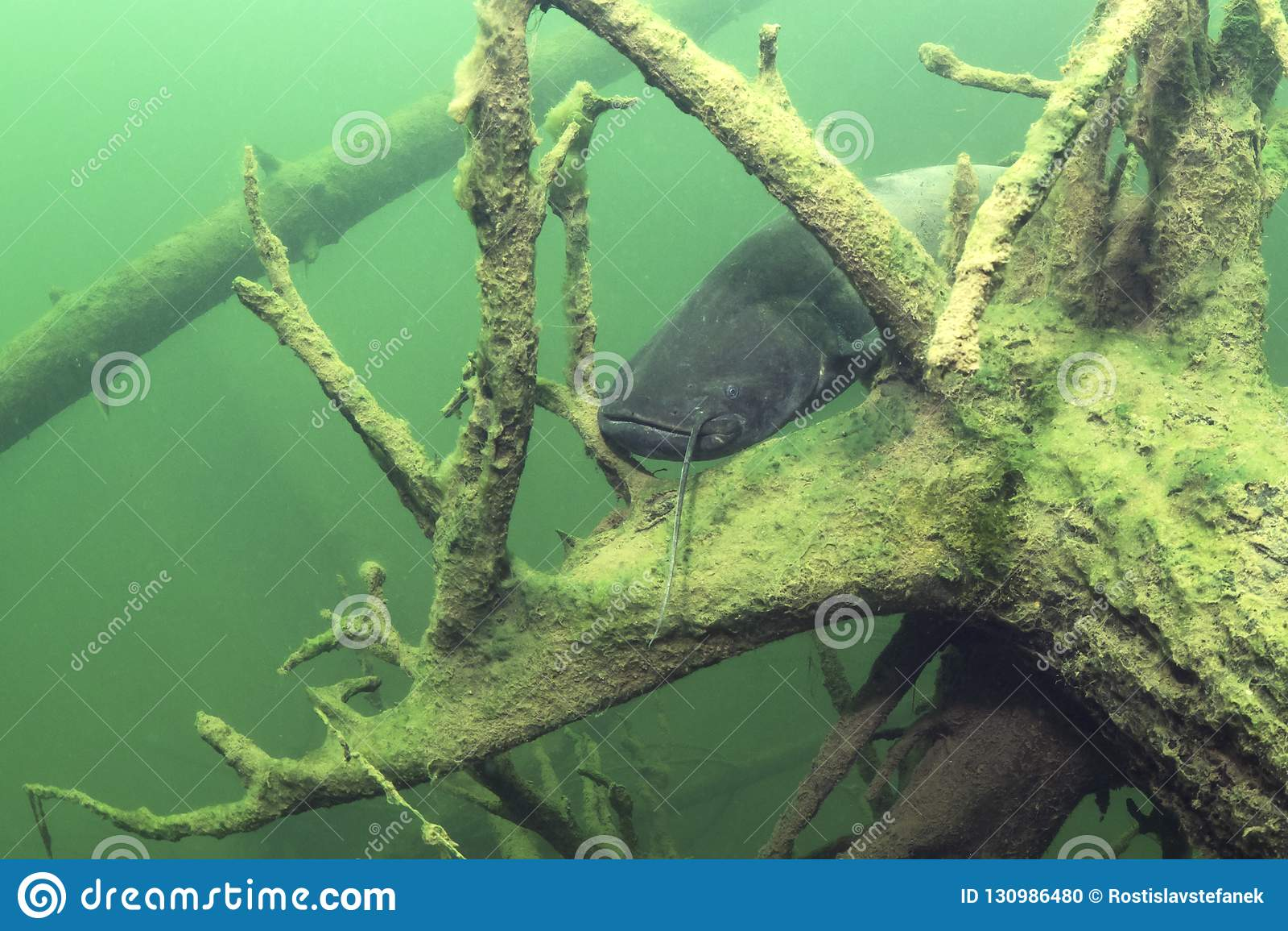 Zoetwaterglanis van Silurus van de vissen Europese Katvis Onderwater