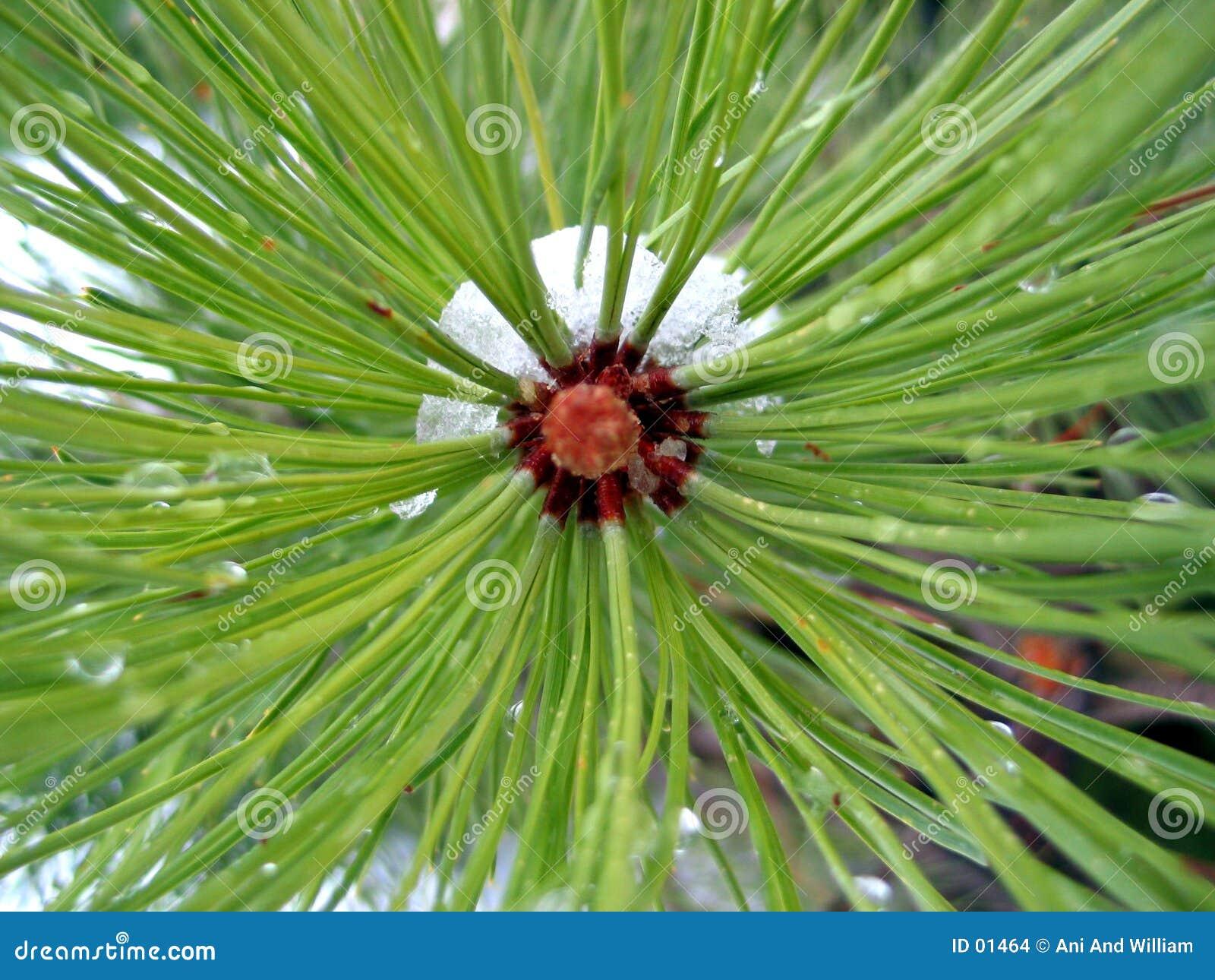 Zona concentrare del pino