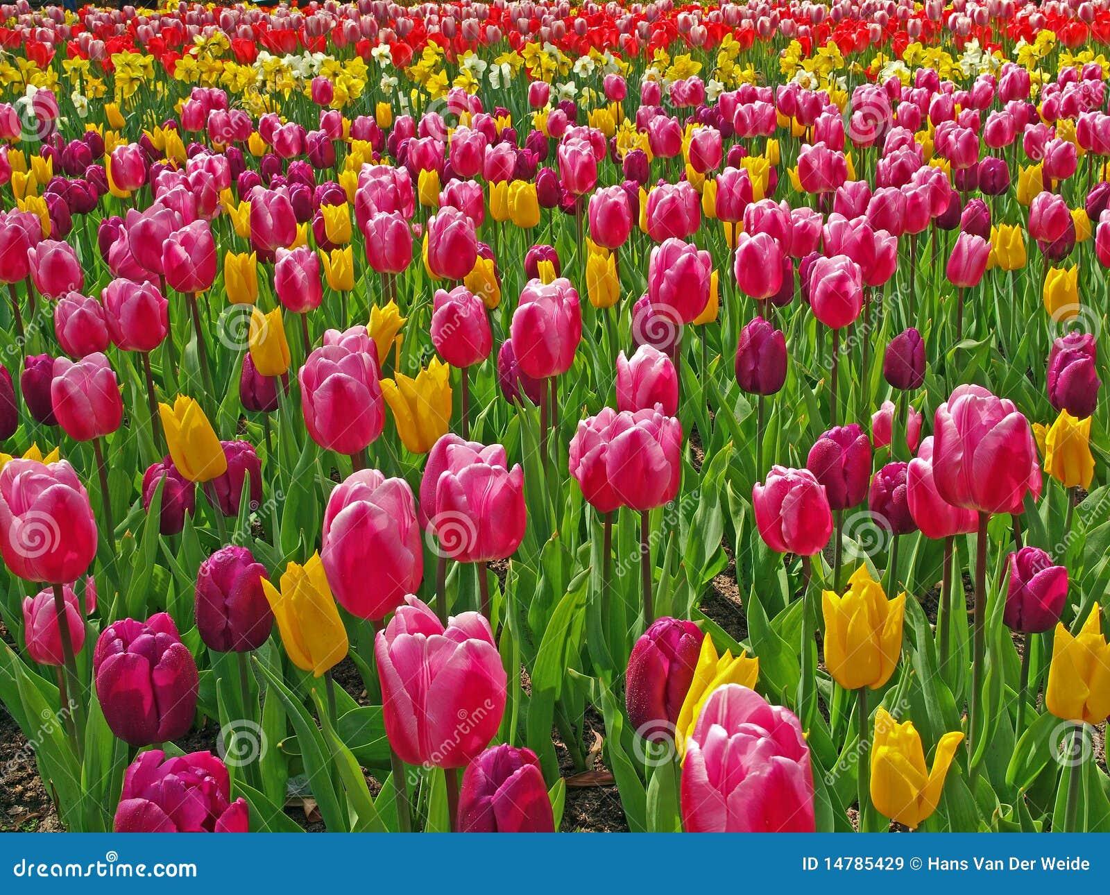 Zone avec des tulipes
