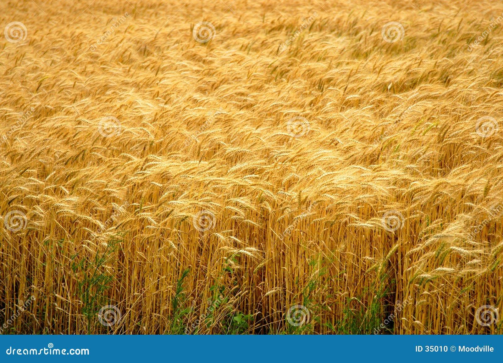 Zone de blé d or