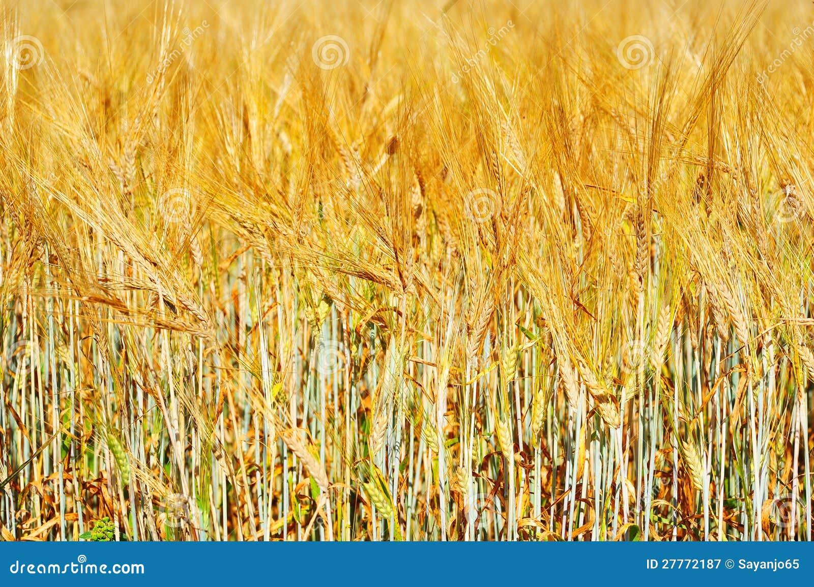 Zone de blé d or avec le ciel bleu