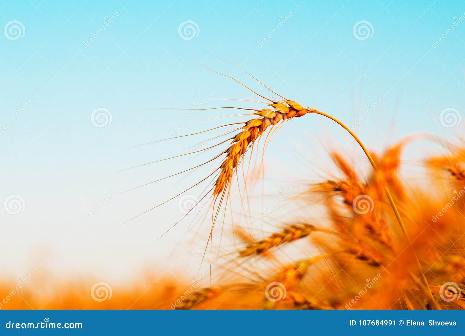 Zone de blé Oreilles de blé d or