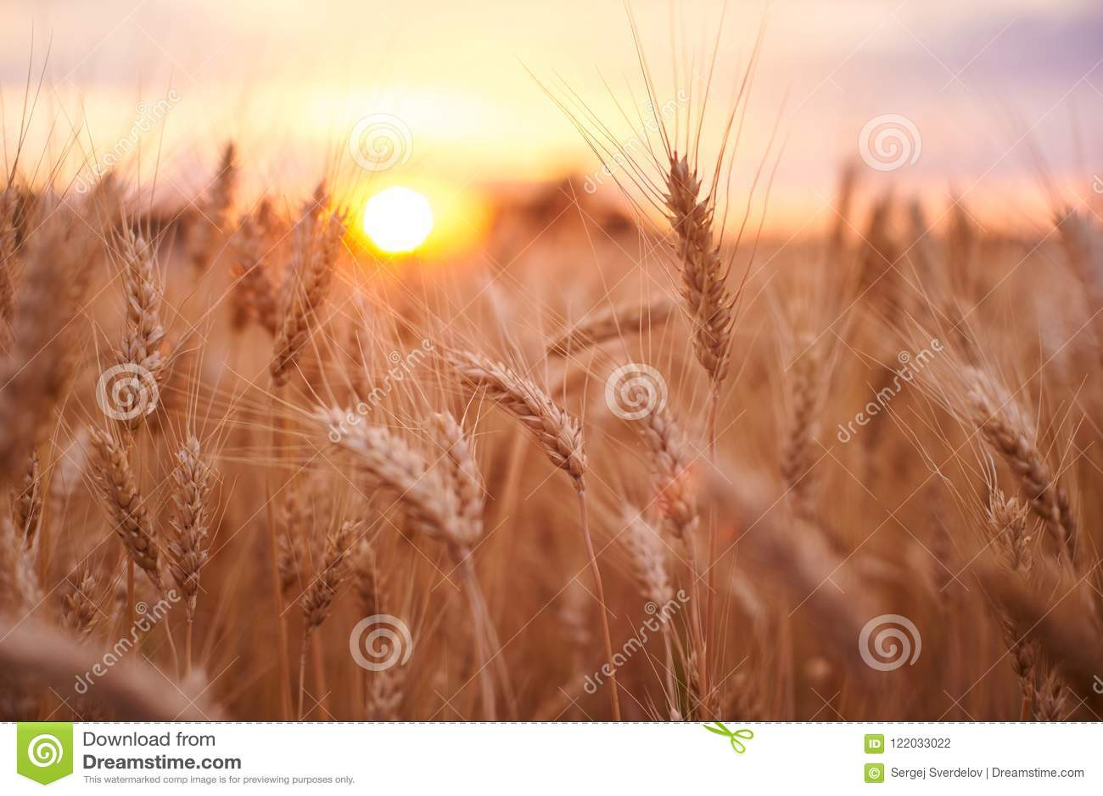 Zone de blé Oreilles de fin d or de blé  Beau paysage de coucher du soleil de nature Paysage rural sous la lumière du soleil bril