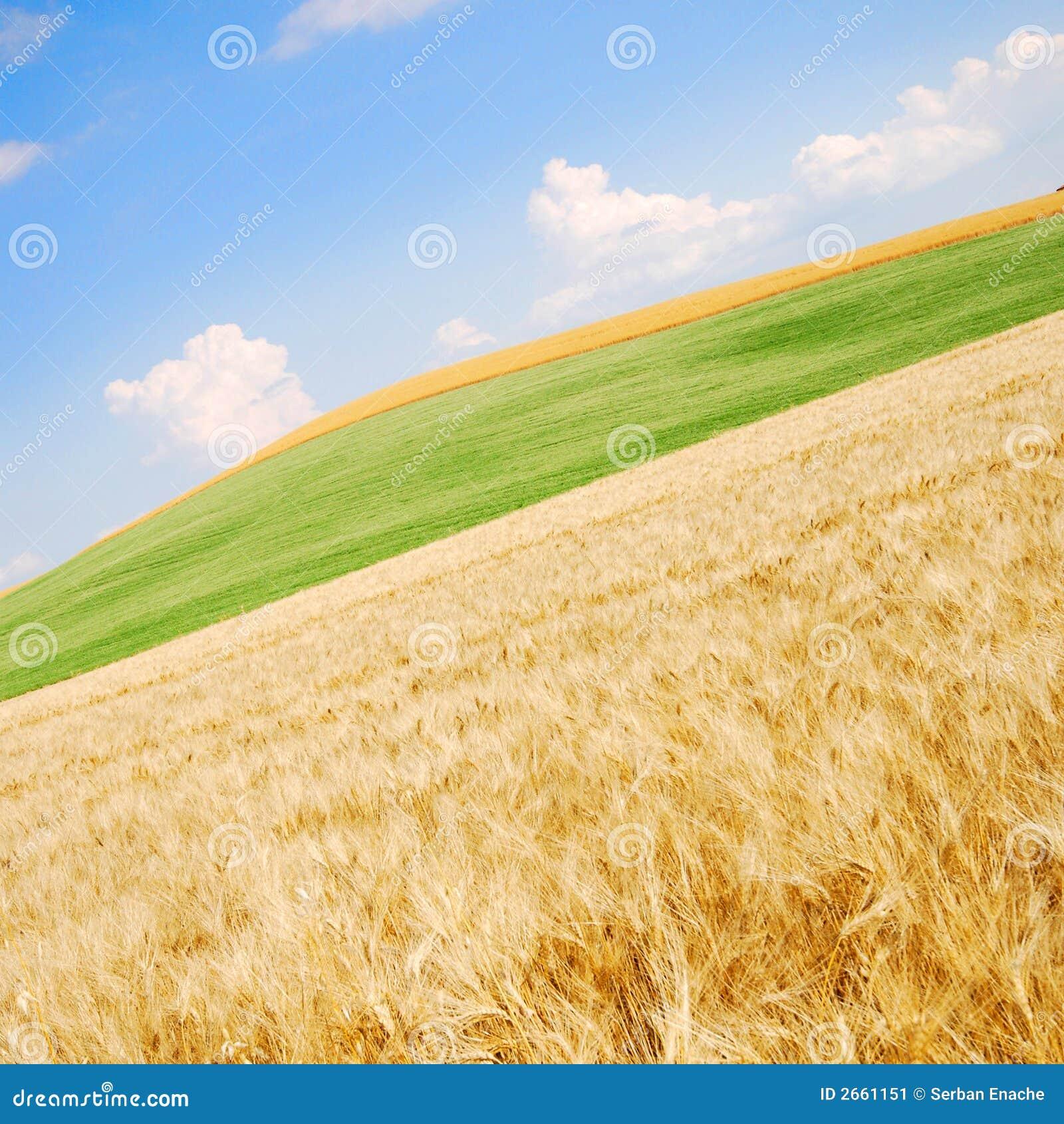 Zone de blé pêchée