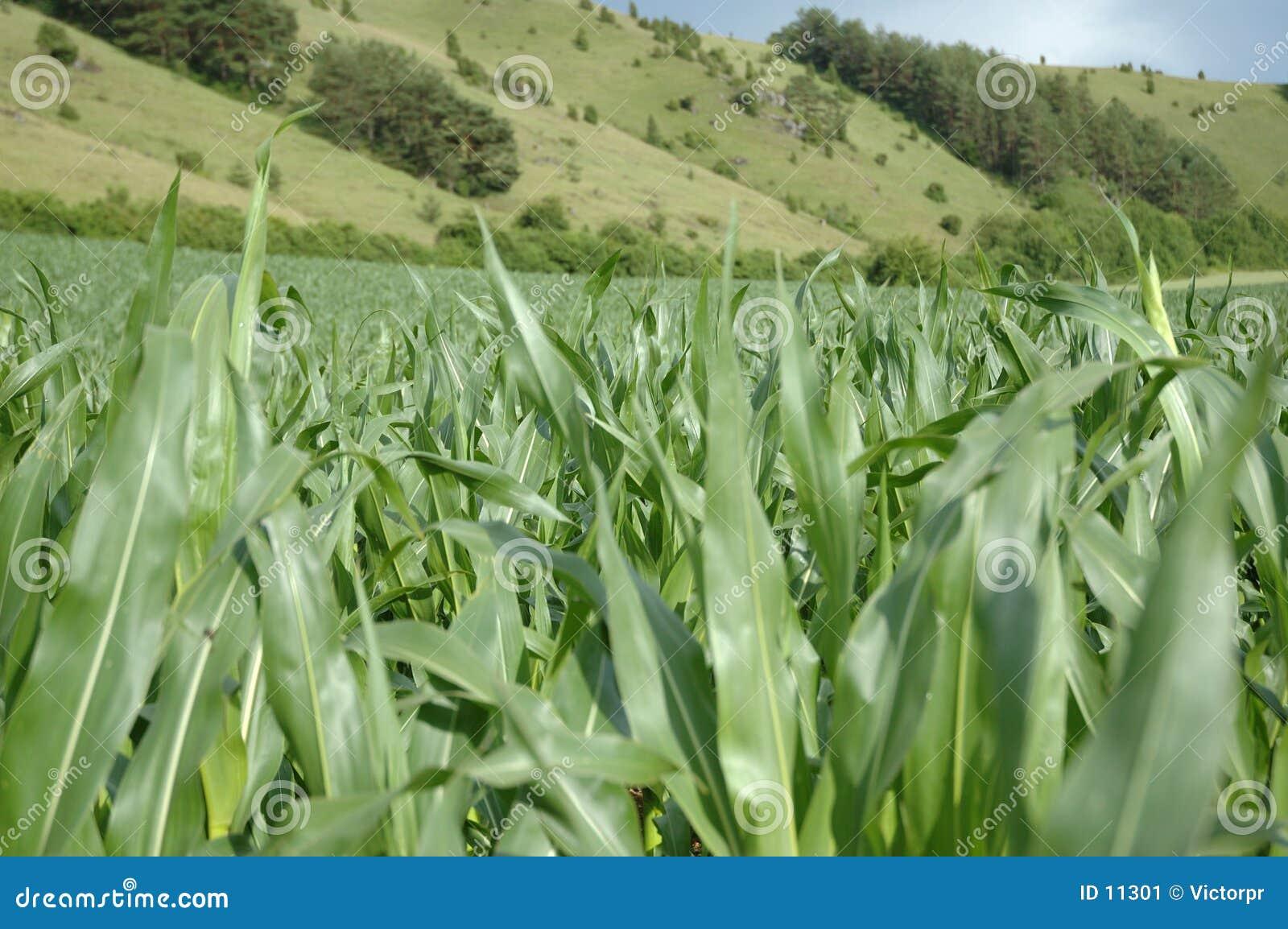 Zone de maïs