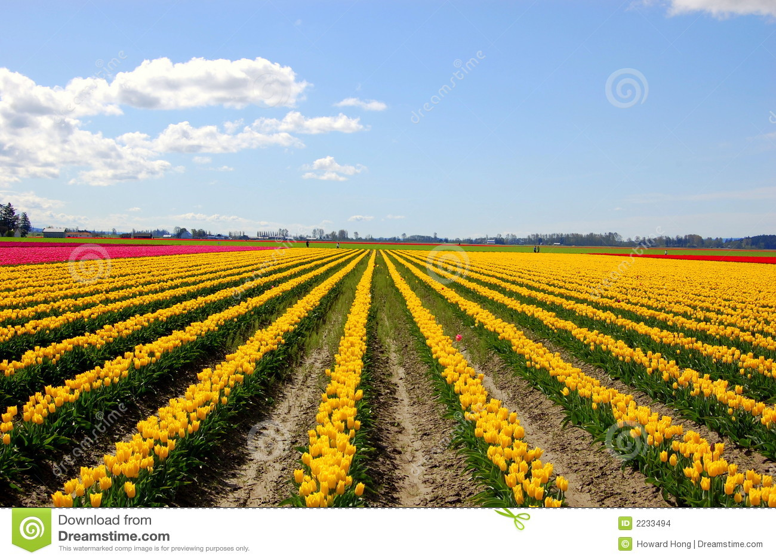 Zone de tulipe