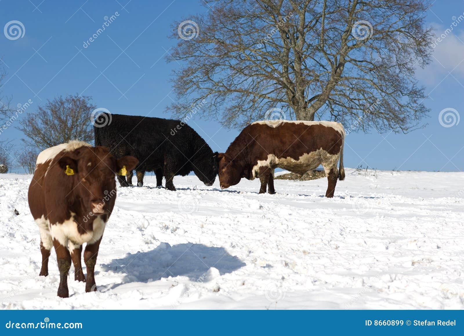 Zone de vaches neigeuse