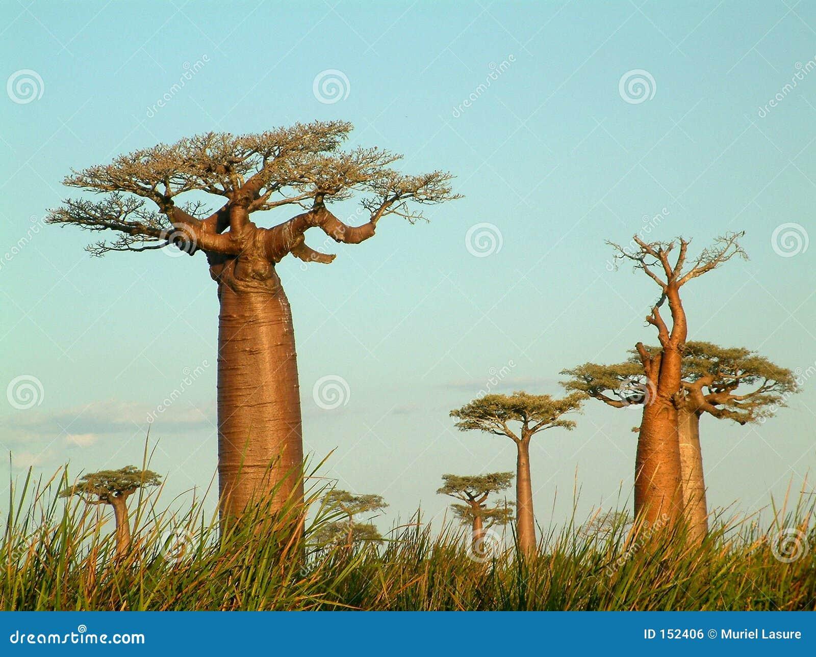 Zone des baobabs