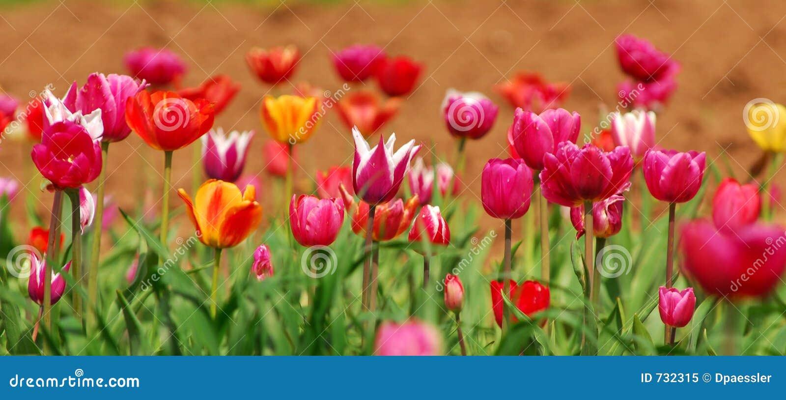 Zone des tulipes colorées