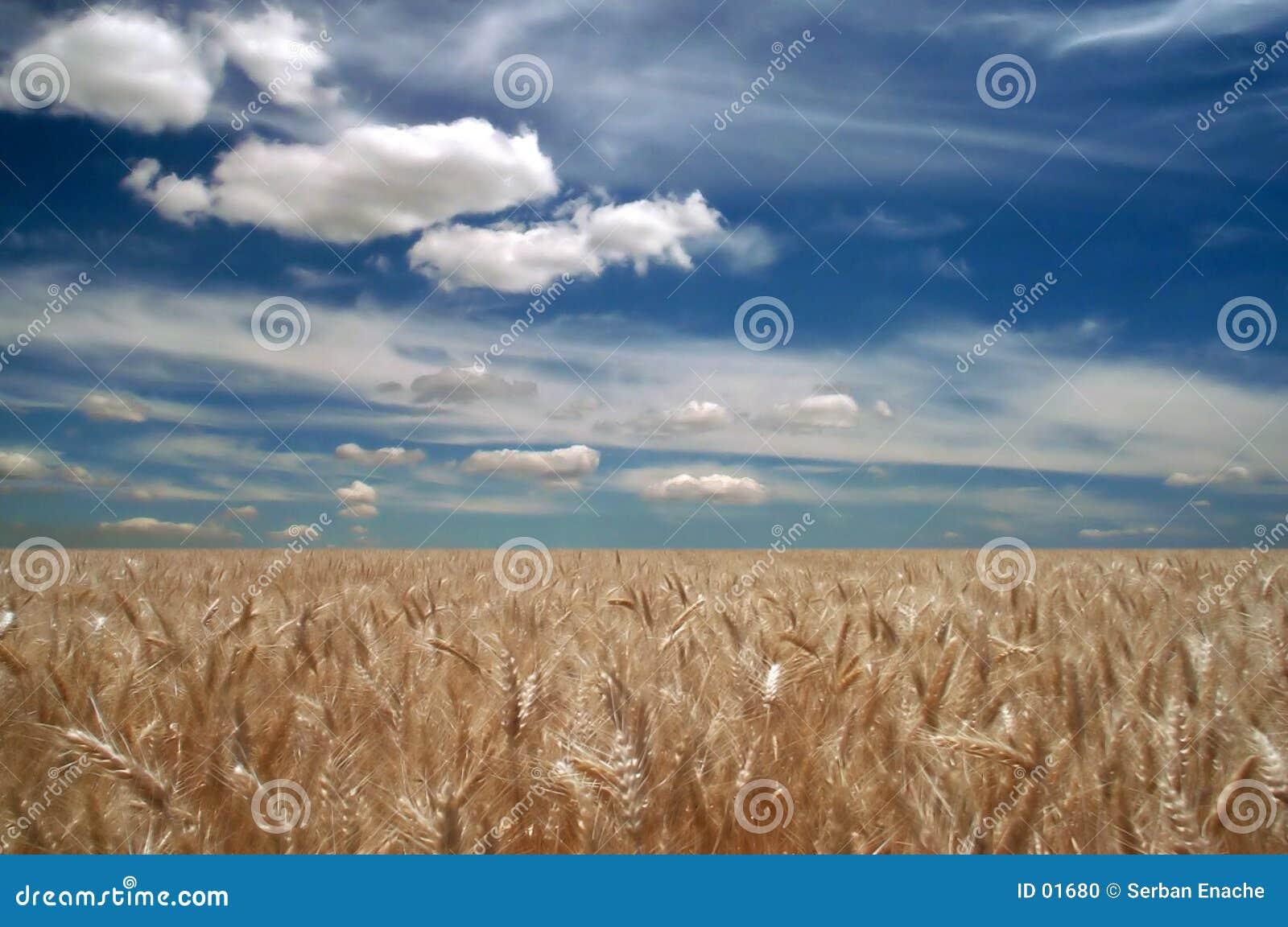 Zones de blé