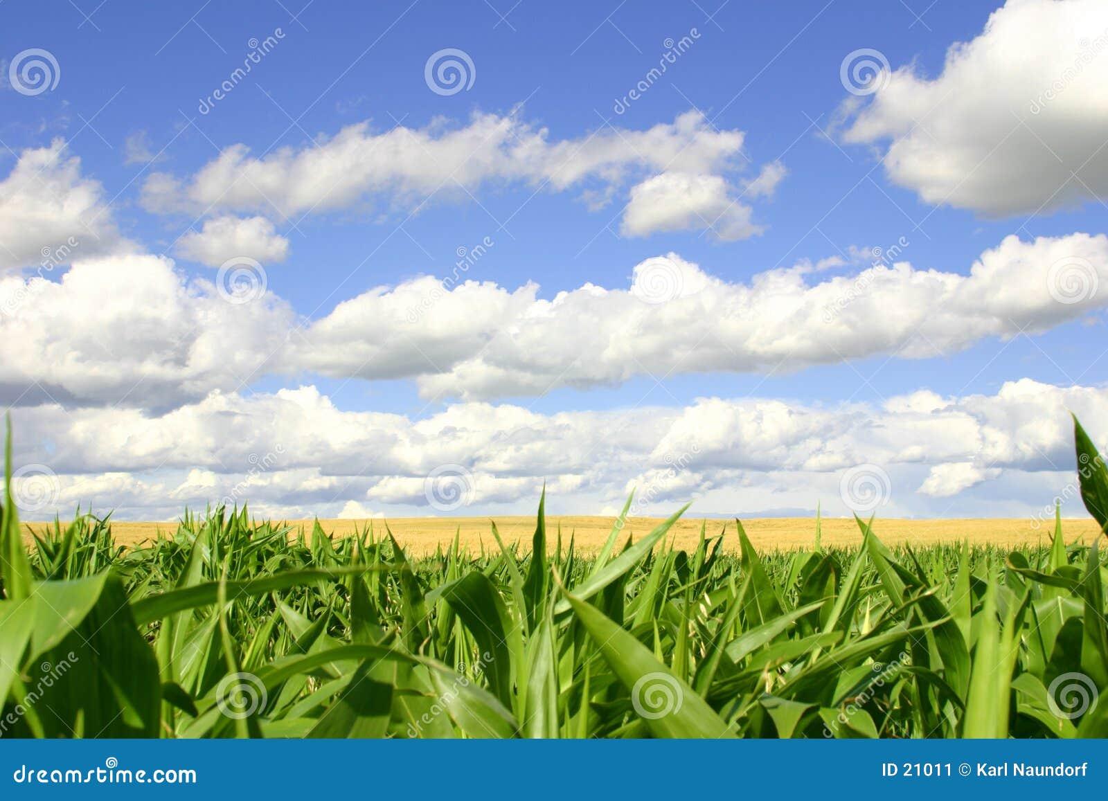 Zones de vert et d or, cieux bleus