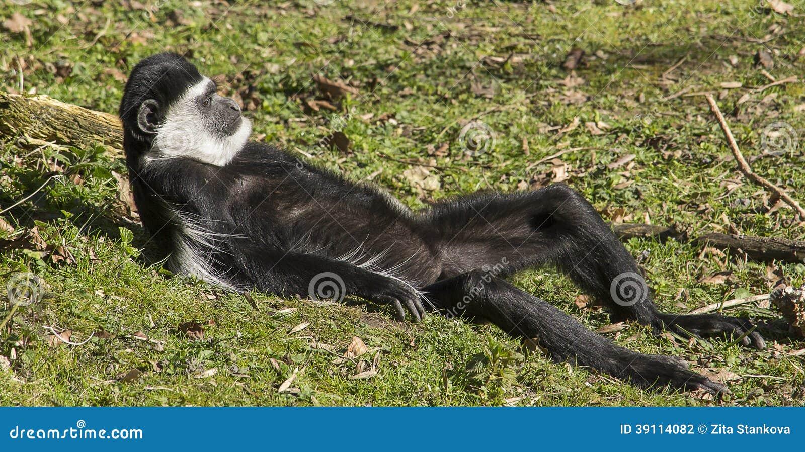 Zonnebadende Colobus-aap