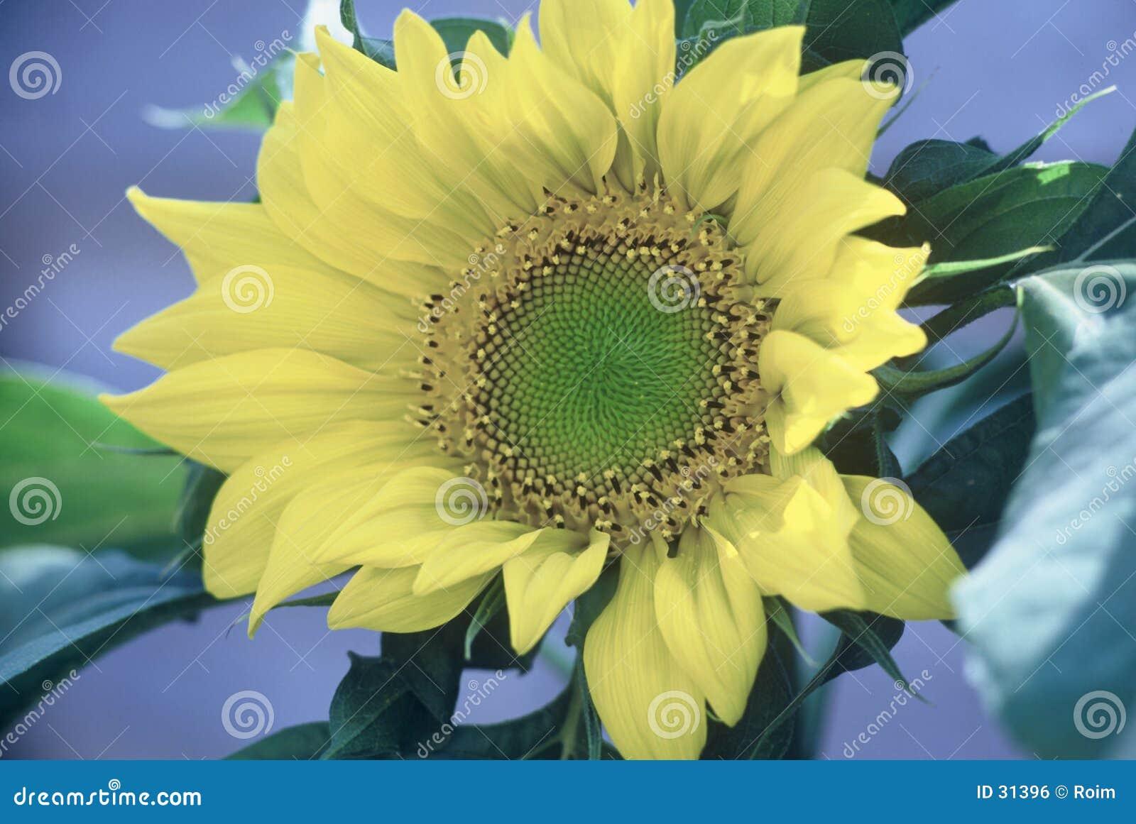 Download Zonnebloem stock foto. Afbeelding bestaande uit groen, bloesem - 31396