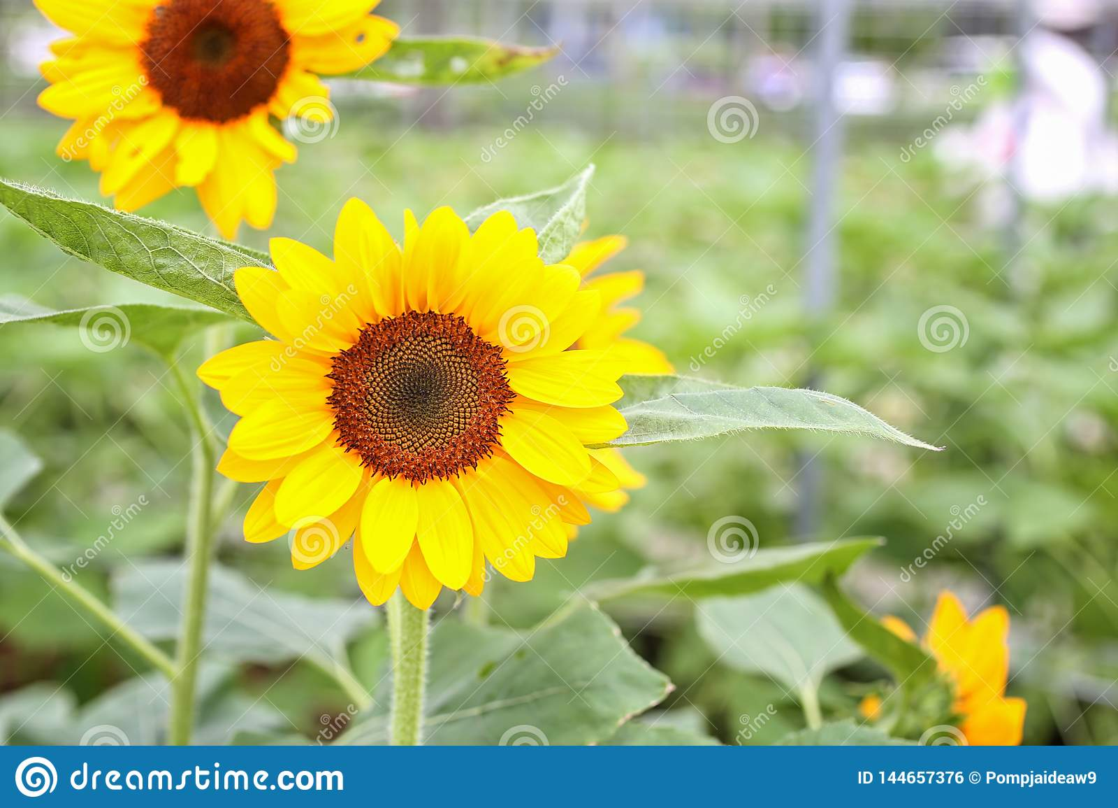 Zonnebloem bij organisch groen huis Serre die Organische plantaardige landbouwtechnologie bewerken