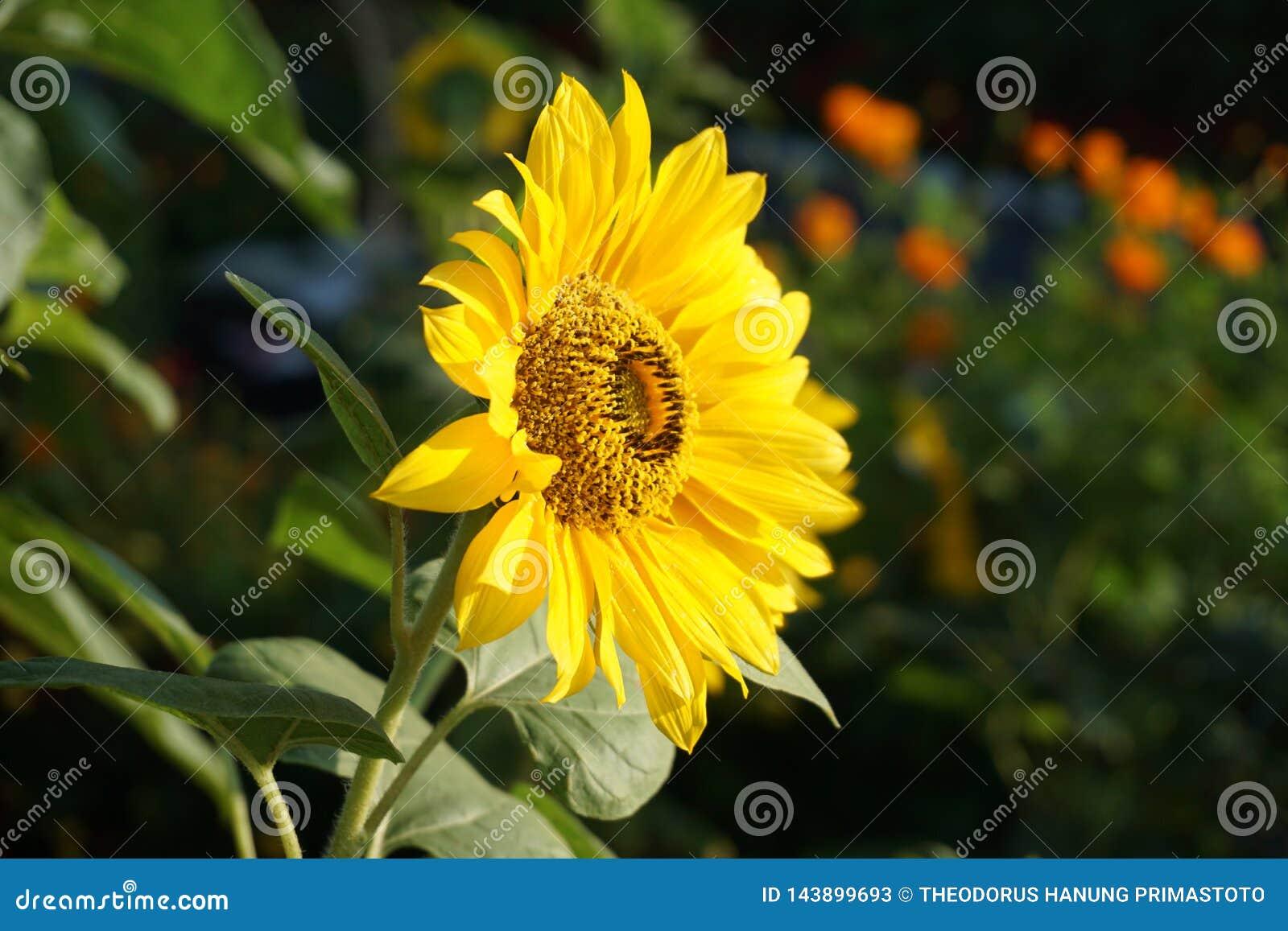 Zonnebloem in de tropische bloemtuin