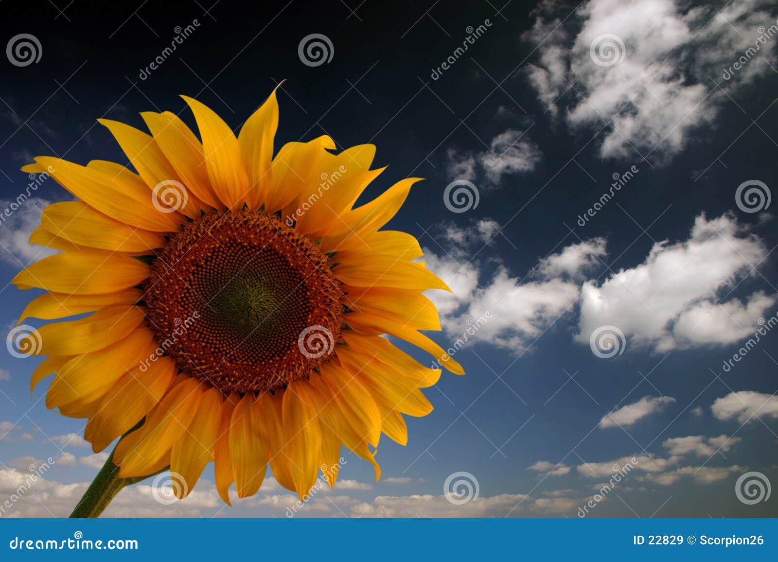 Zonnebloem en hemel