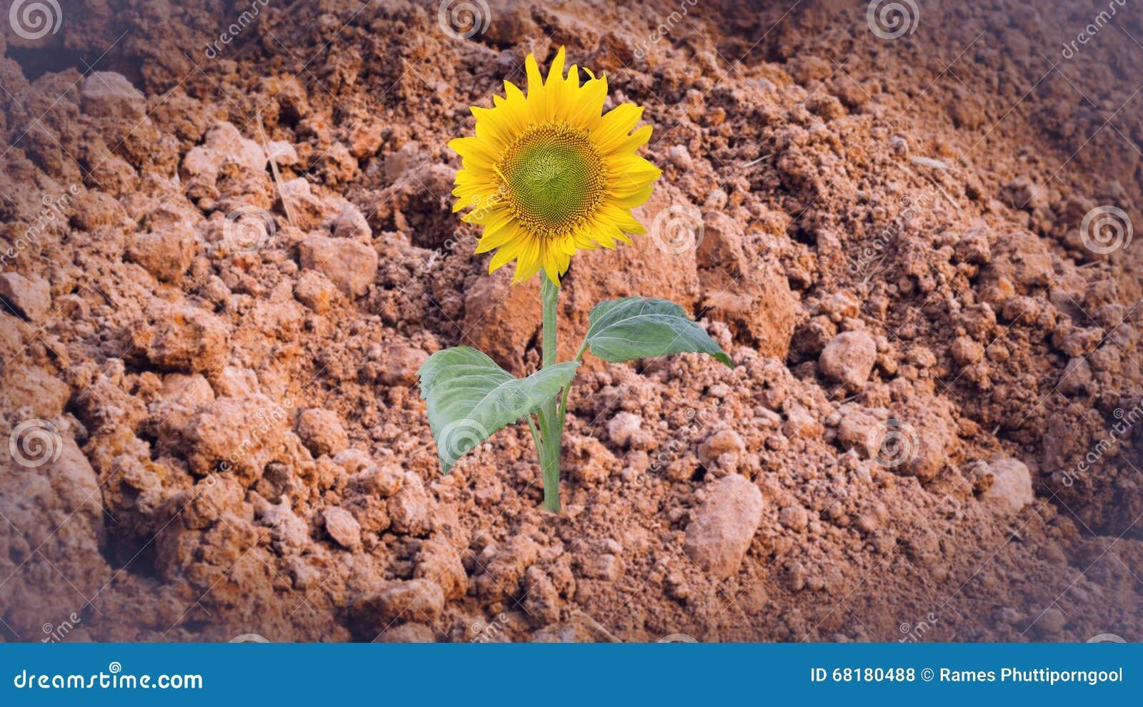 Zonnebloem op droge grond abstracte achtergrond stock foto afbeelding 68180488 - Foto droge tuin ...