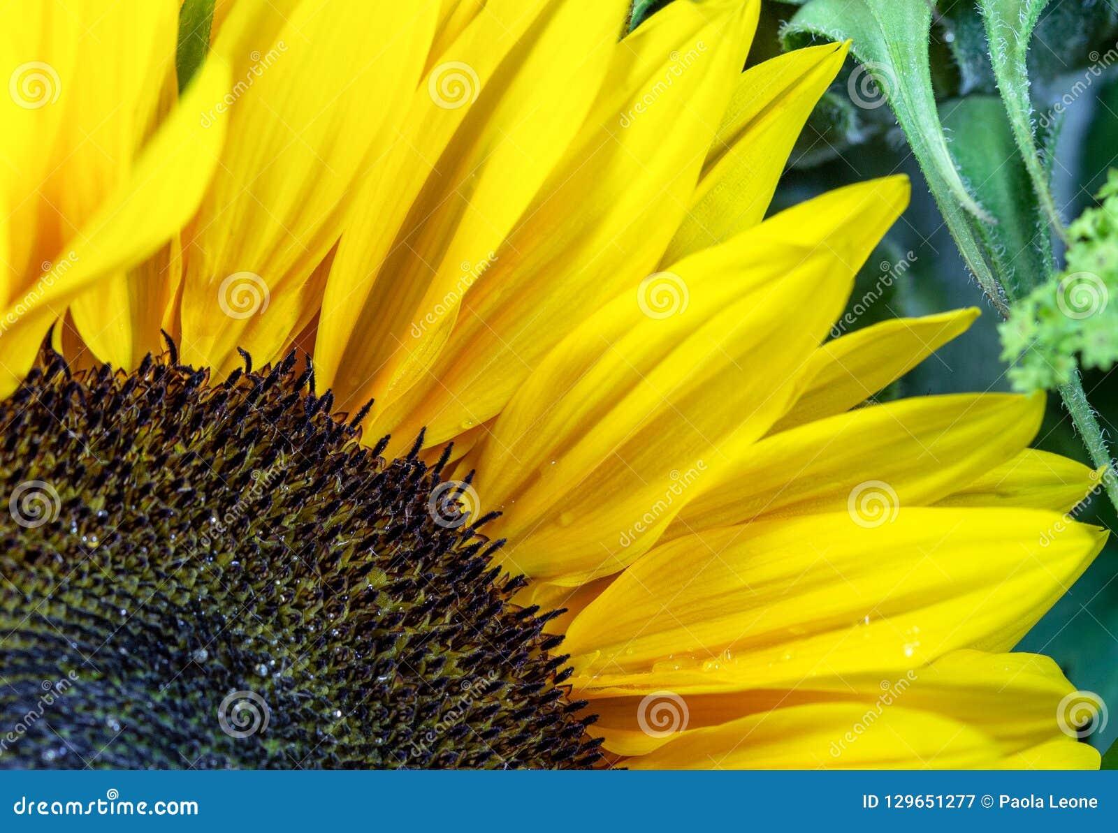 Zonnebloemclose-up: Details van Bloemblaadjes, Corolla en groene Bladeren op Achtergrond
