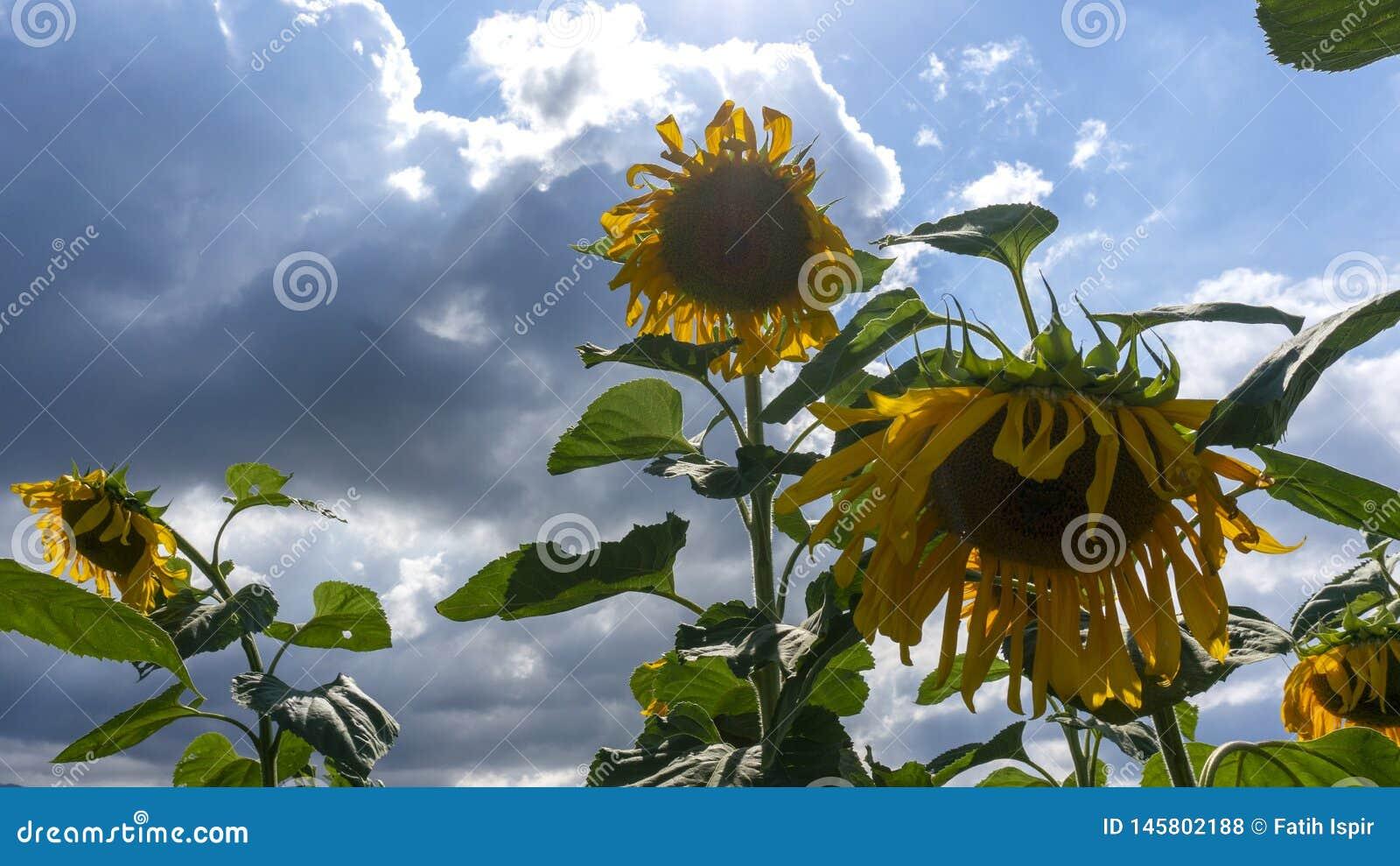 Zonnebloemen in dicht bewolkt weer onder zonlicht
