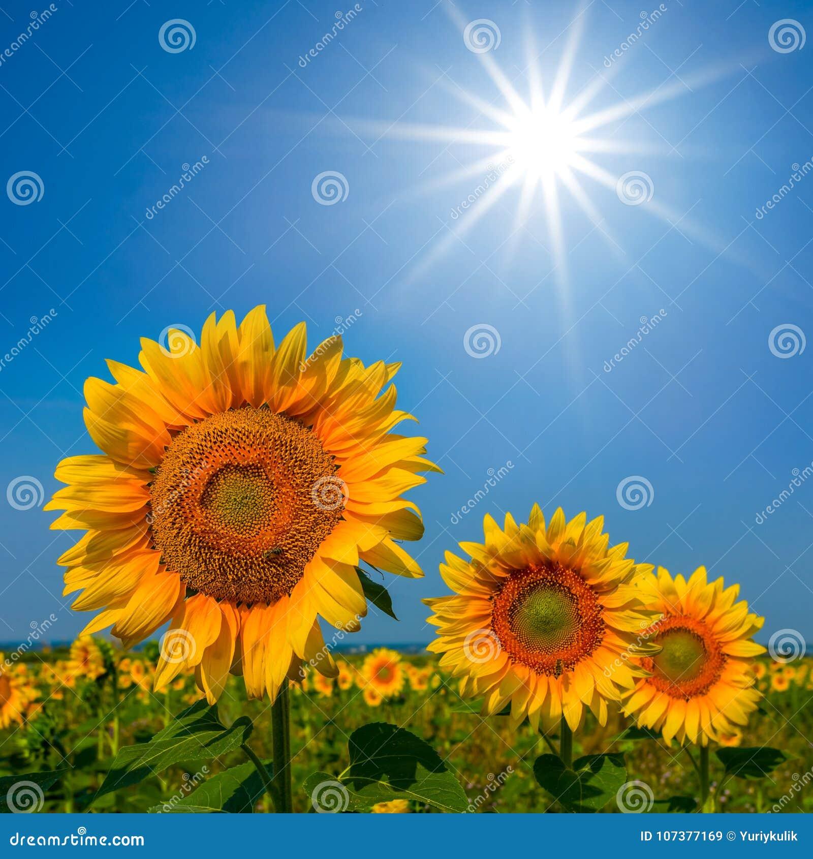 Zonnebloemen onder een fonkelingszon