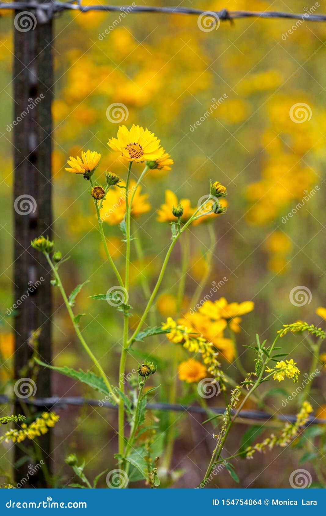 Zonnebloemen op buiten Barb Wire Fence Closeup