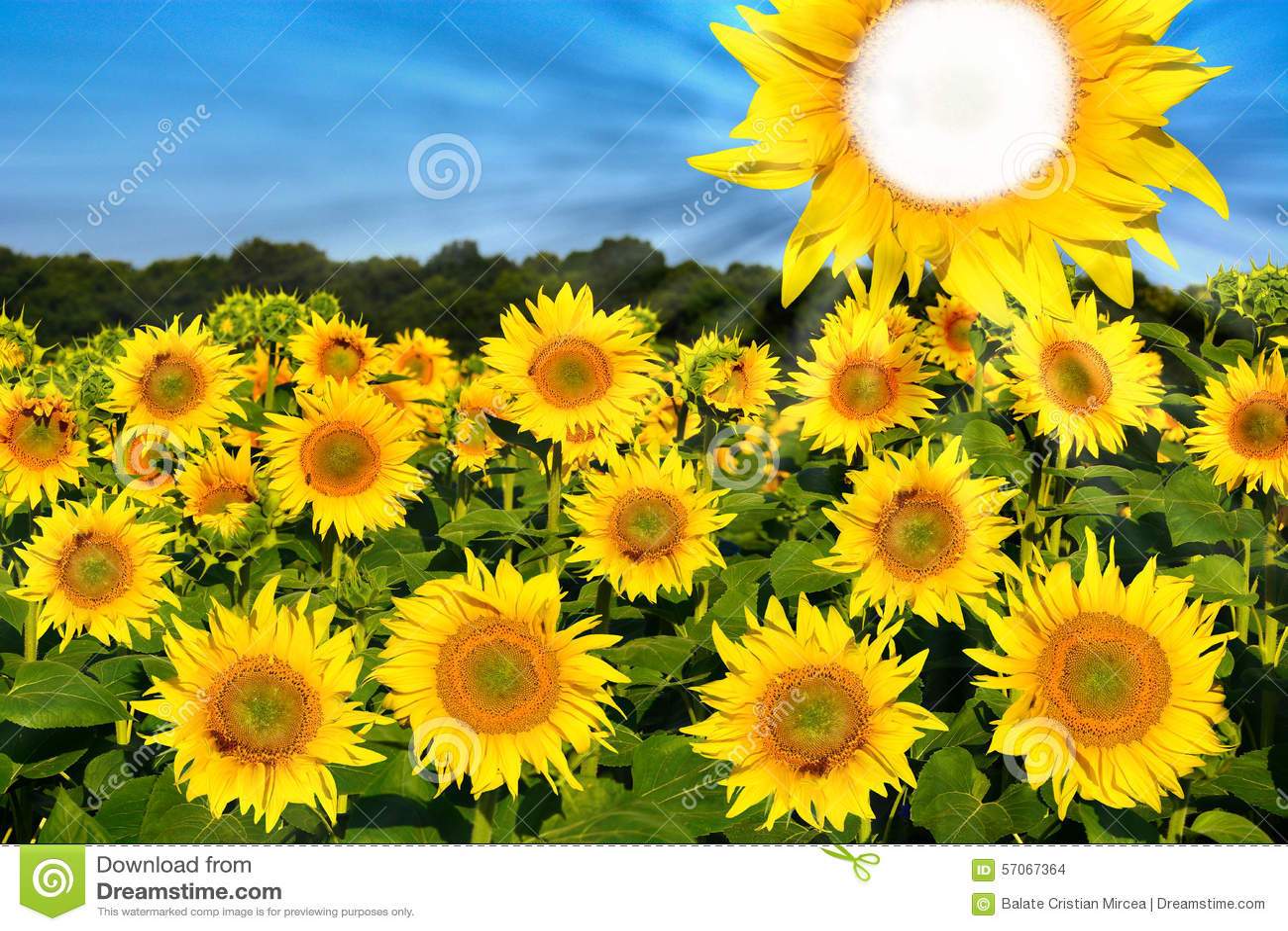 Zonnebloemen op gebied