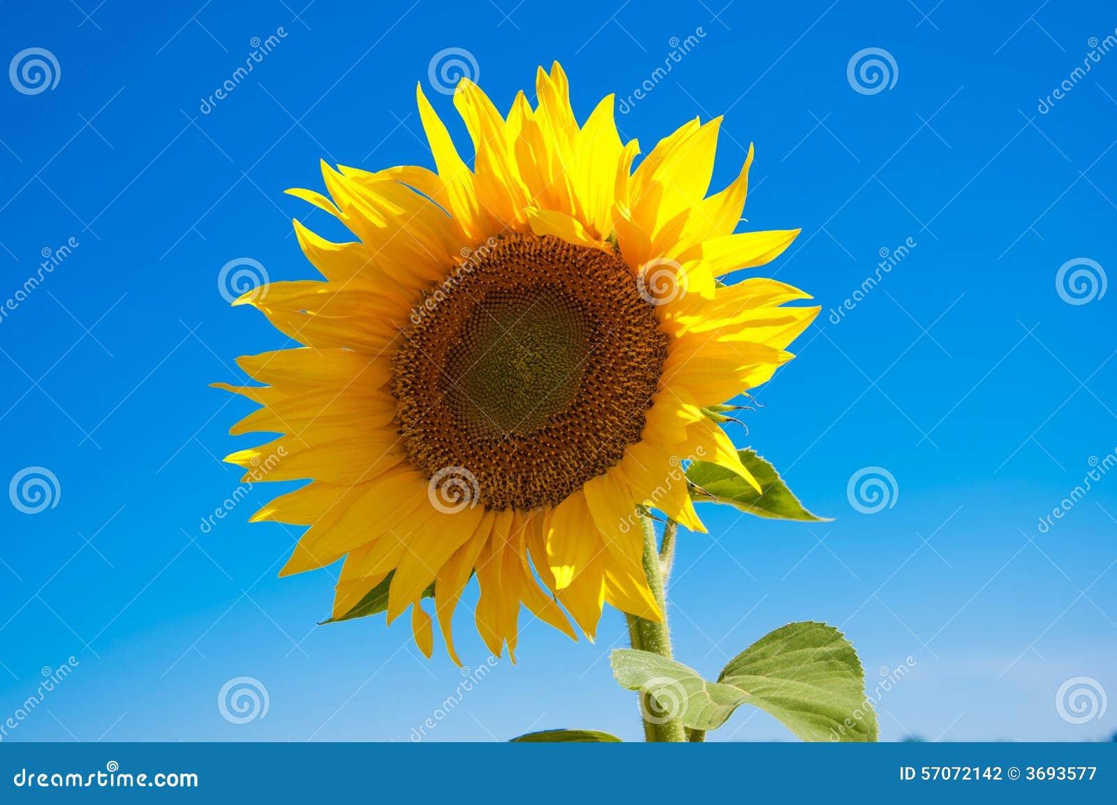 Zonnebloemen op het gebied