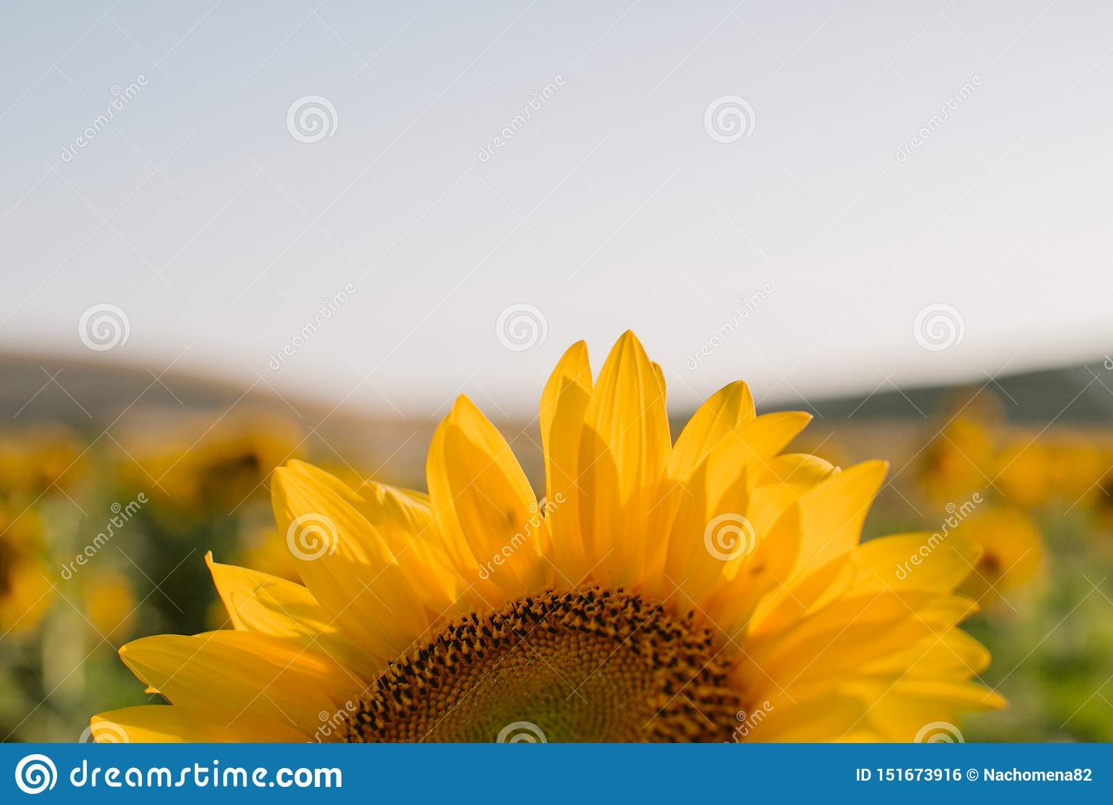 Zonnebloementextuur en achtergrond voor ontwerpers Macromening van zonnebloem in bloei Organische en natuurlijke achtergrond