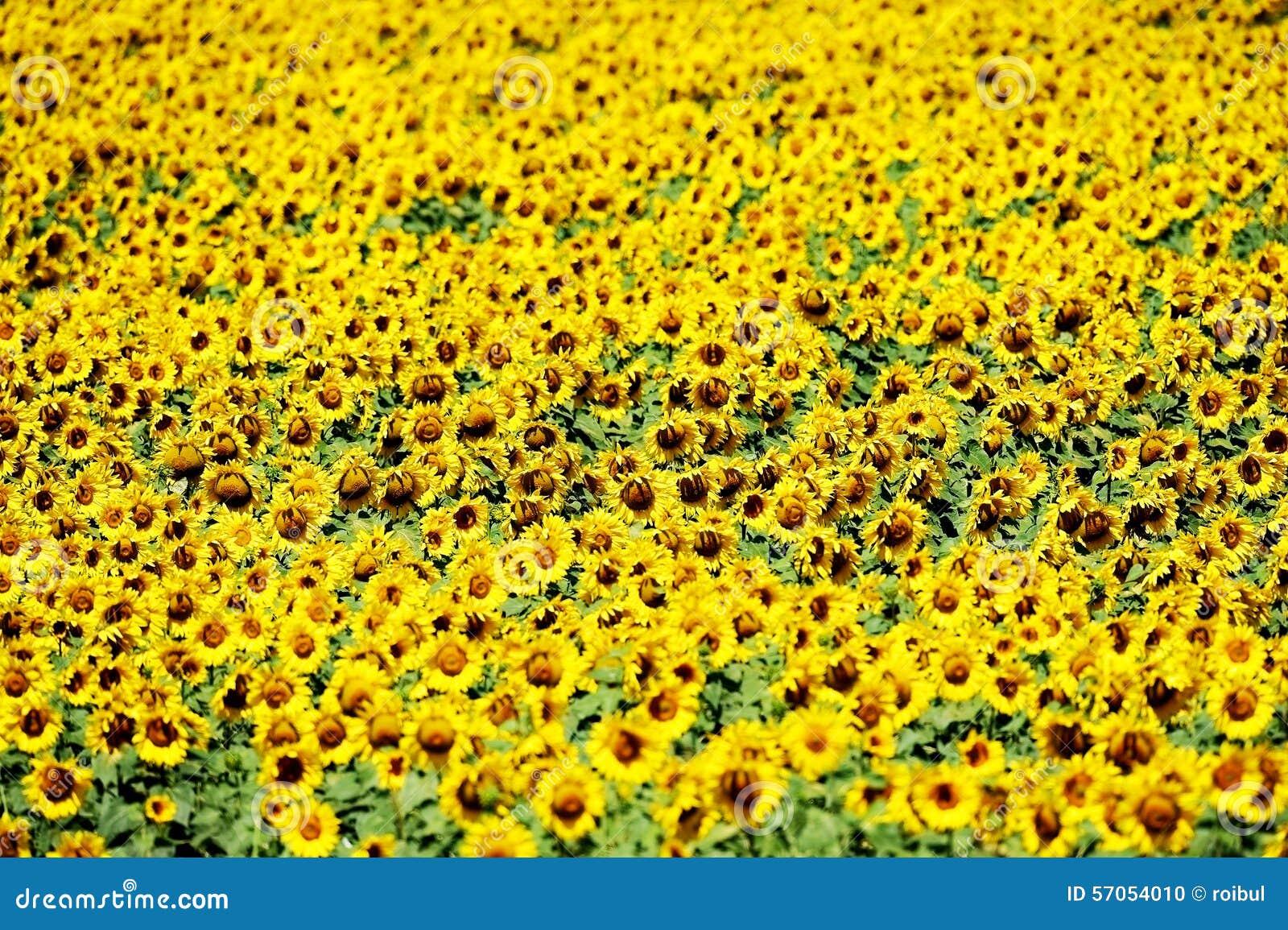 Zonnebloemgebied in juli