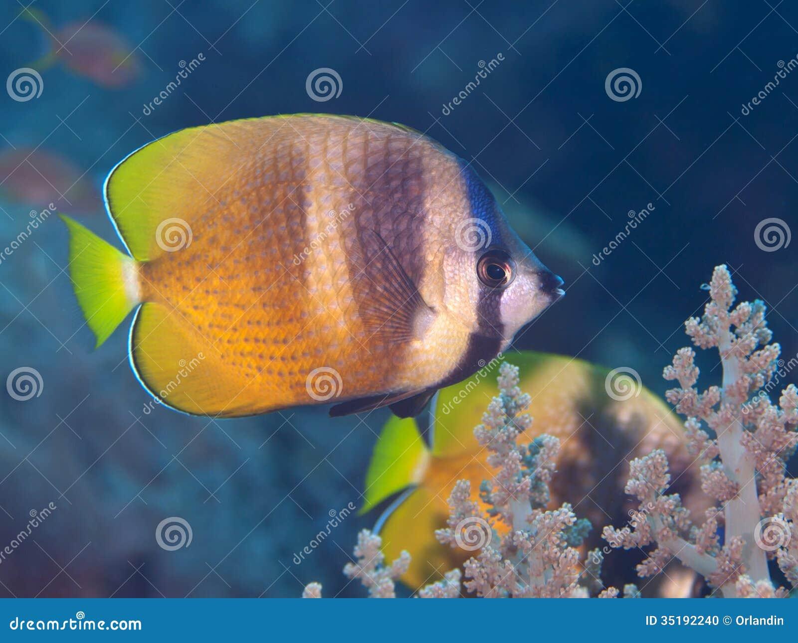 Zonnestraal butterflyfish