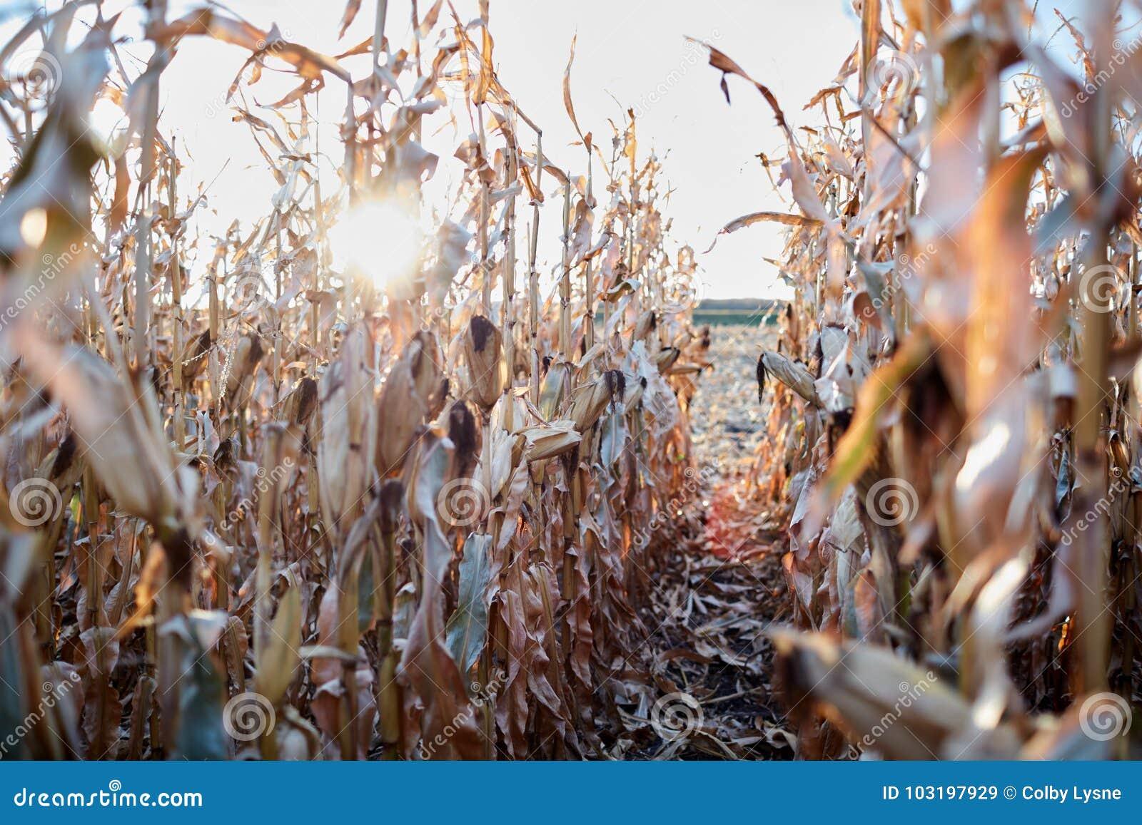 Zonnestraal door rijen van droge maïsinstallaties