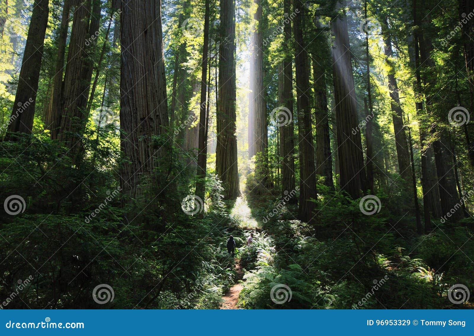 Zonnestralen in een prachtig Californische sequoiabos