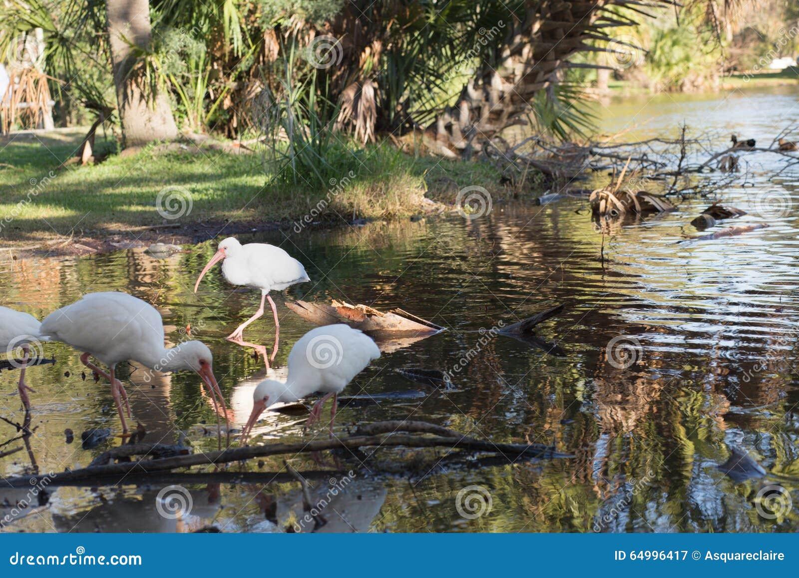 Zonnige schijnwerper op ibis in ondiep water