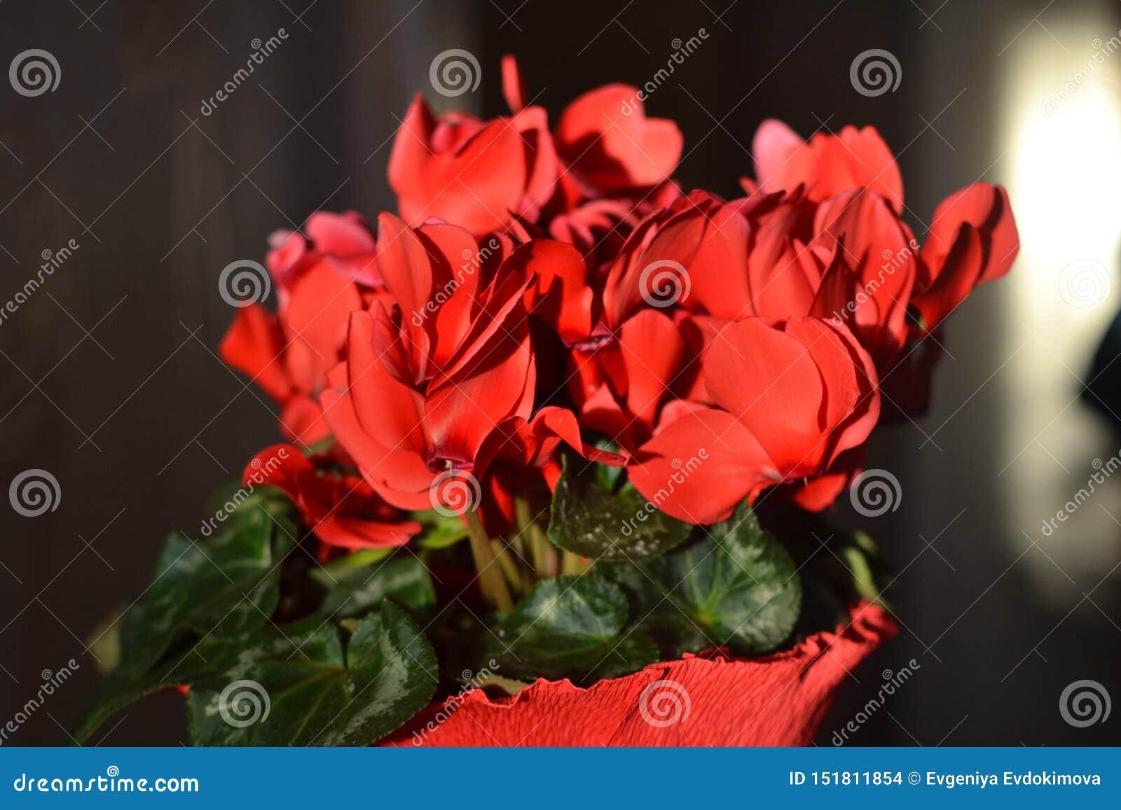 Zonovergoten Rode Citromen bloeit binnen dicht omhoog