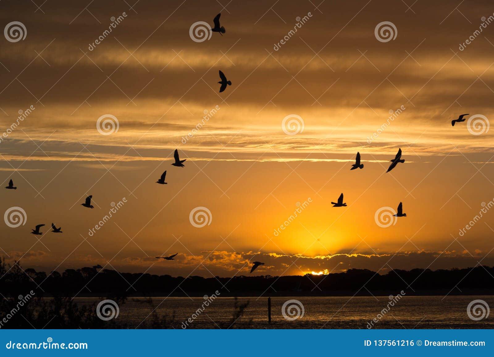 Zonsondergang over Phillip Island met Zeemeeuwen tijdens de vlucht