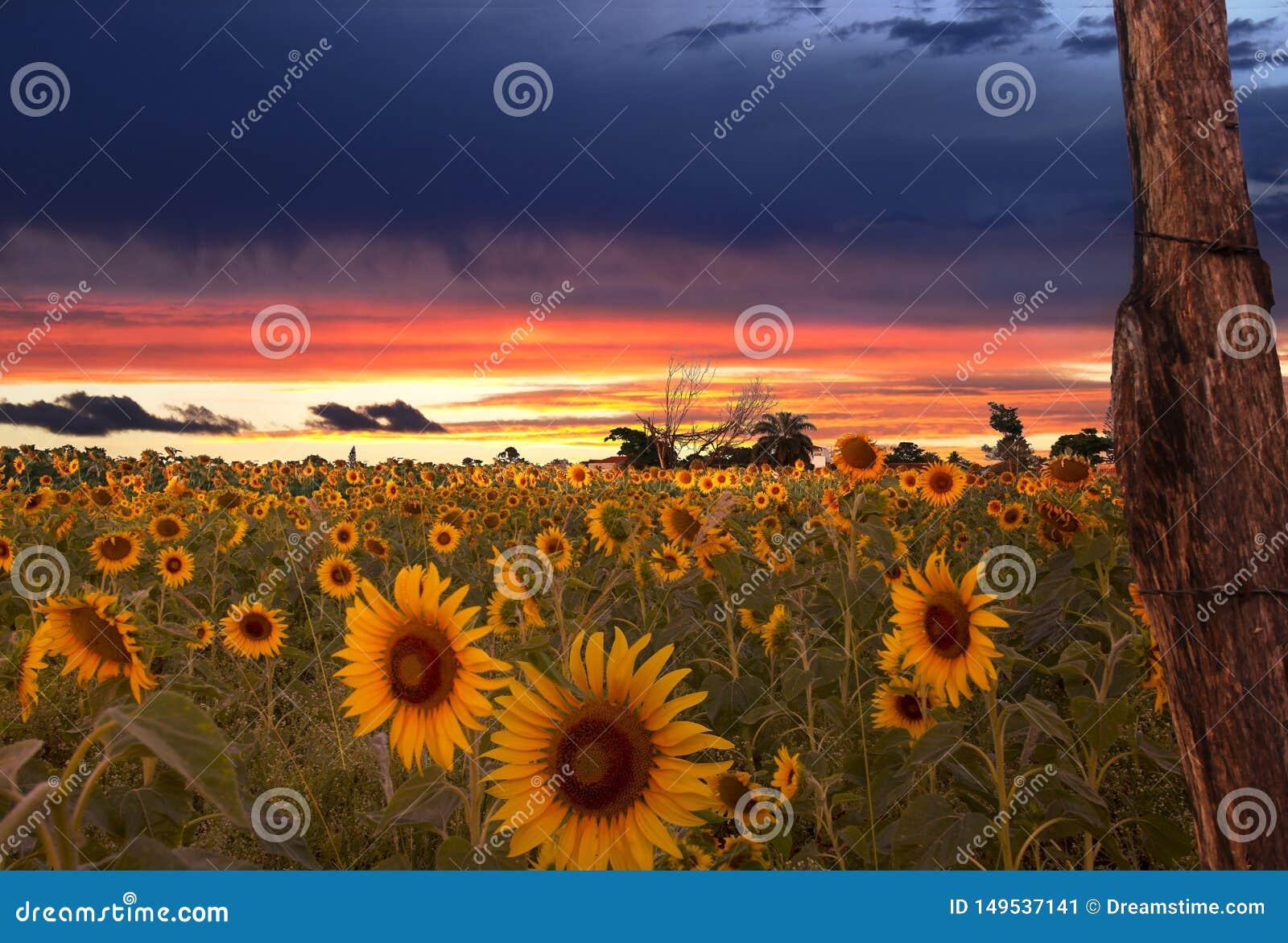 Zonsopgang en gebied van zonnebloemen